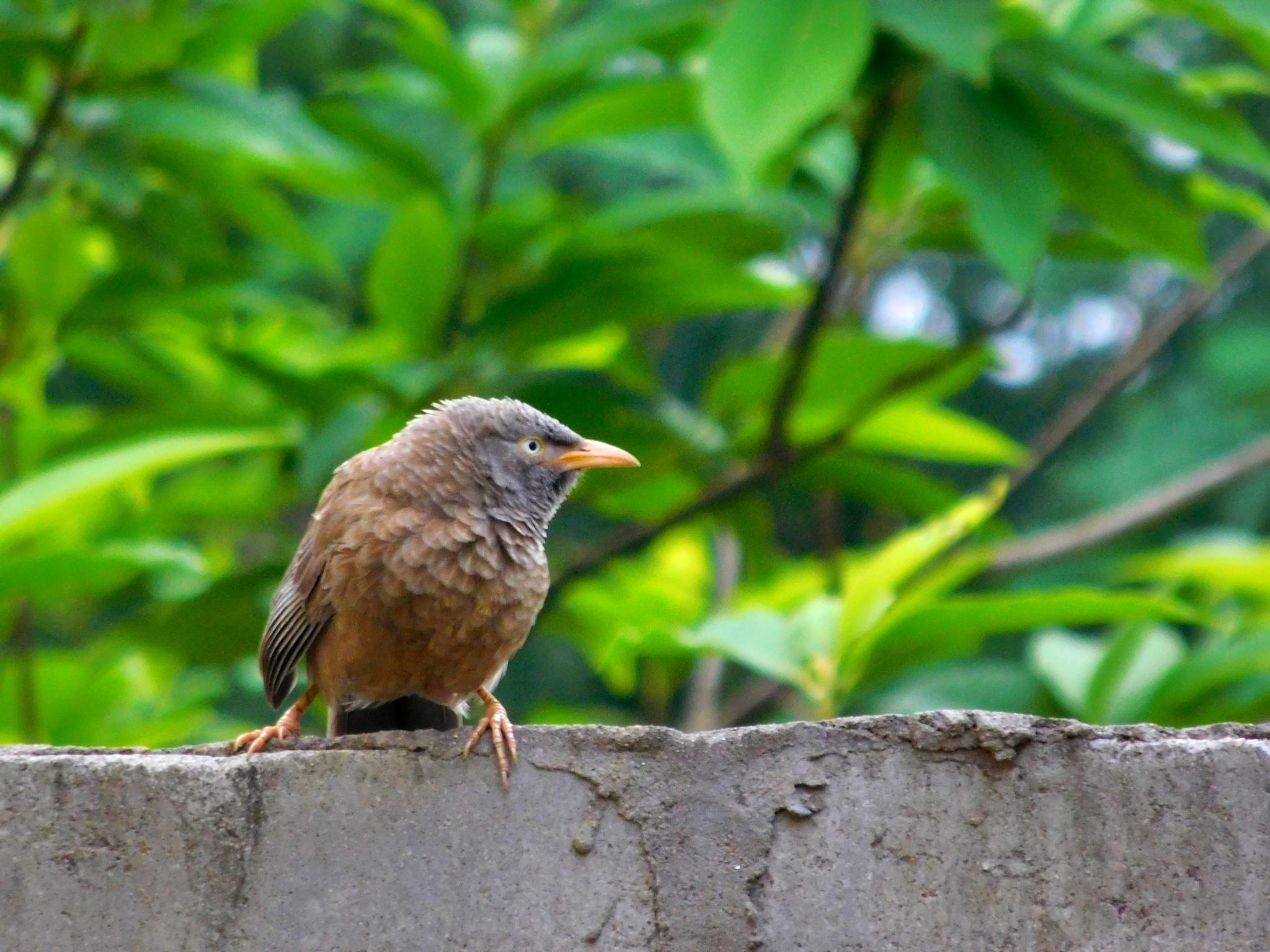 jungle babbler by Amit Kumar Bal