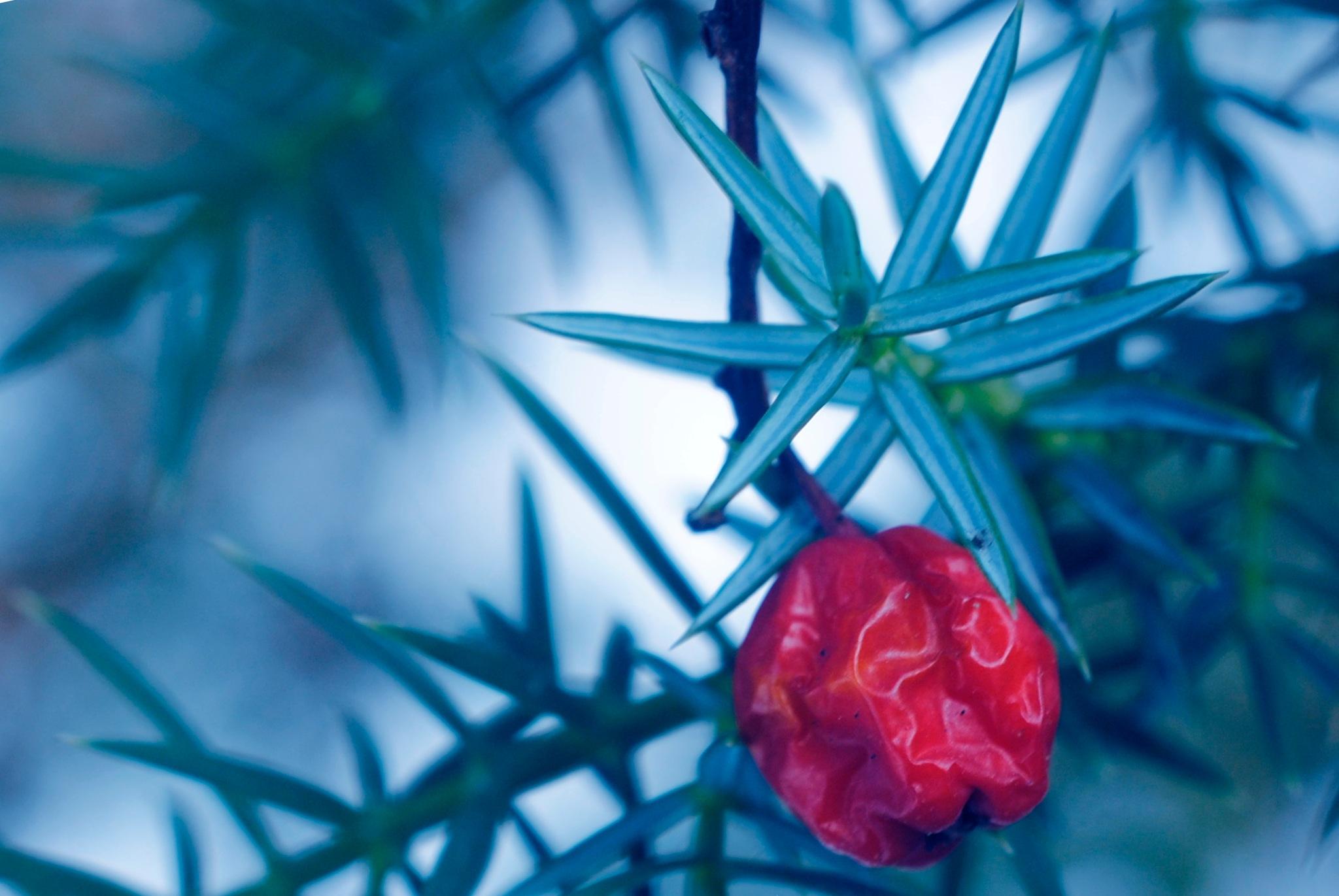 """Winter - blue-green juniper - """"SINIKATAJA"""" by laura.kamil"""