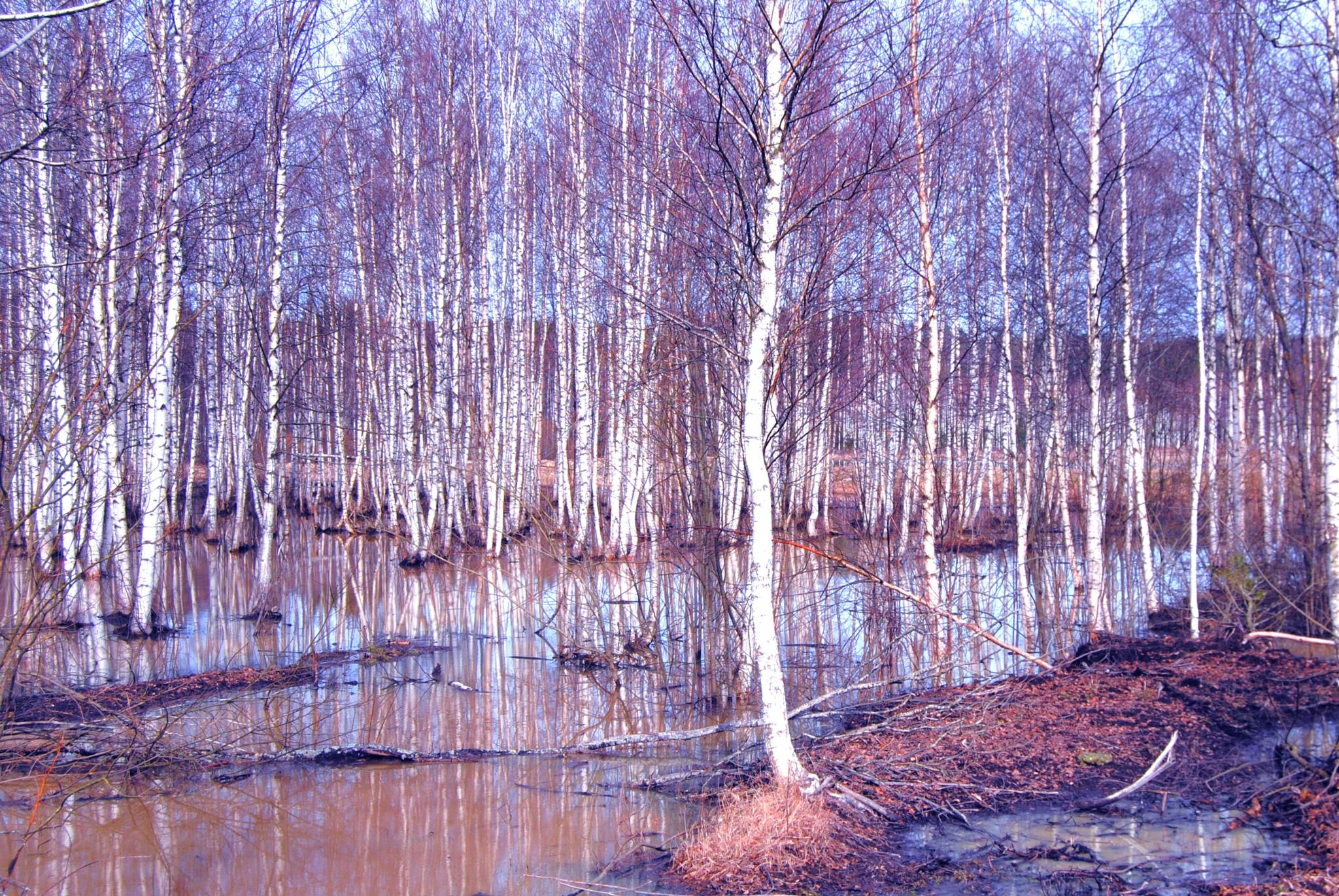 "Birches and spring flood - ""Kevät tulva"" by laura.kamil"