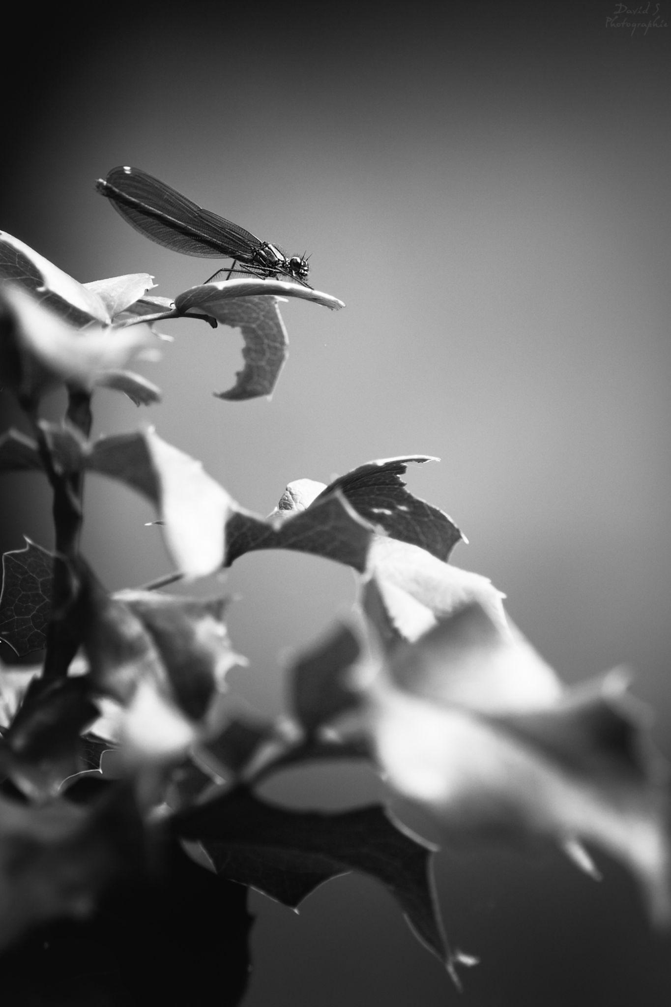 Dragonfly by David Salobir