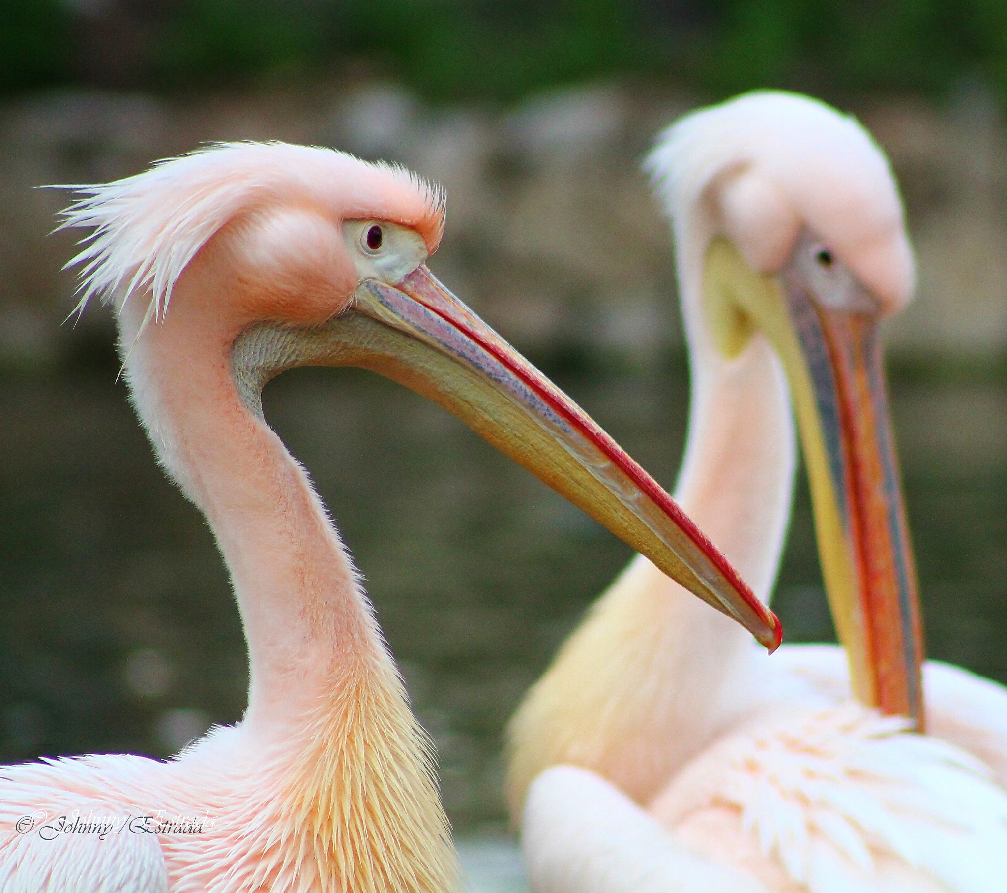 great pelicans by John  Estrada