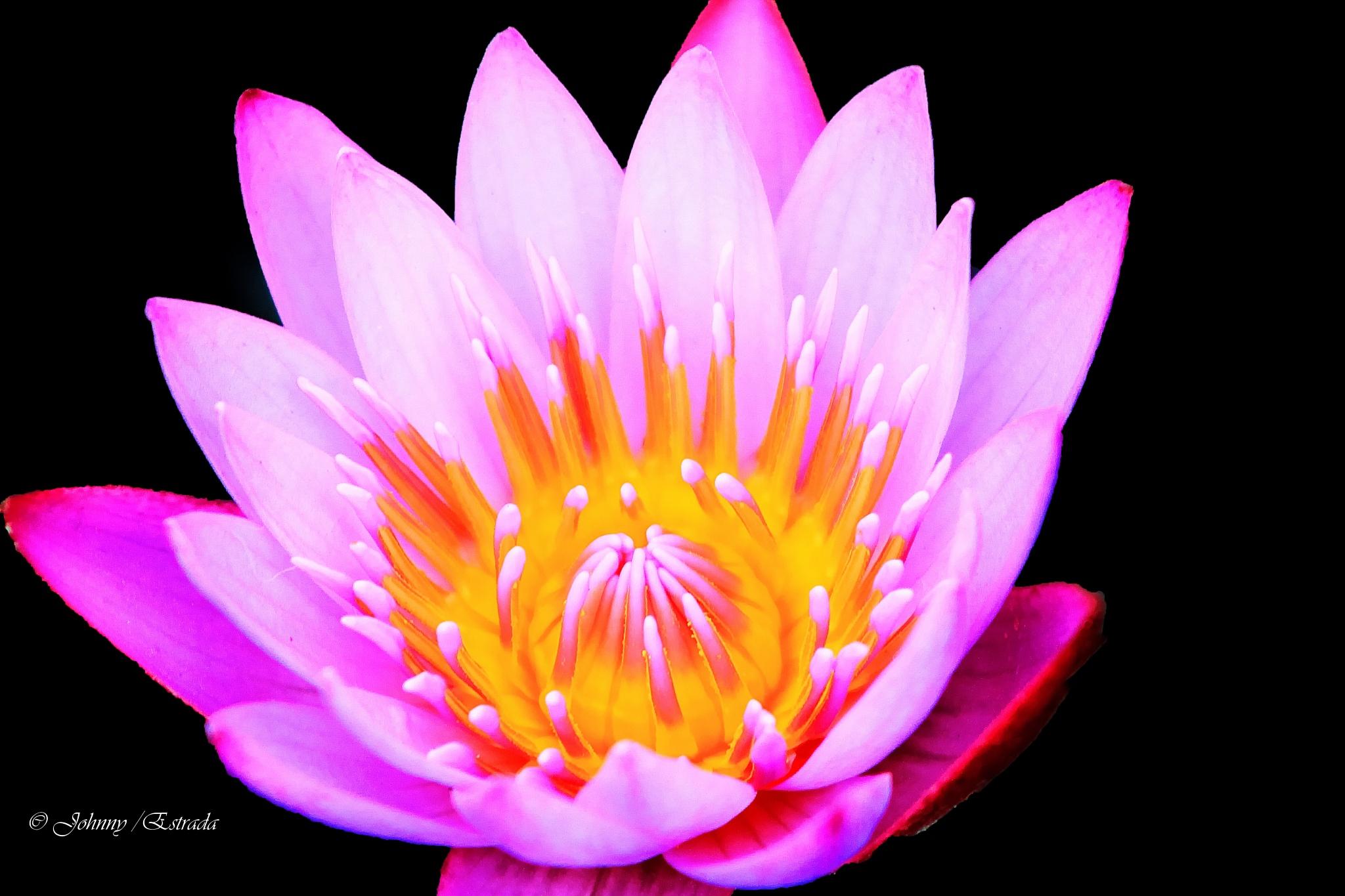 Waterlily(pink) by John  Estrada