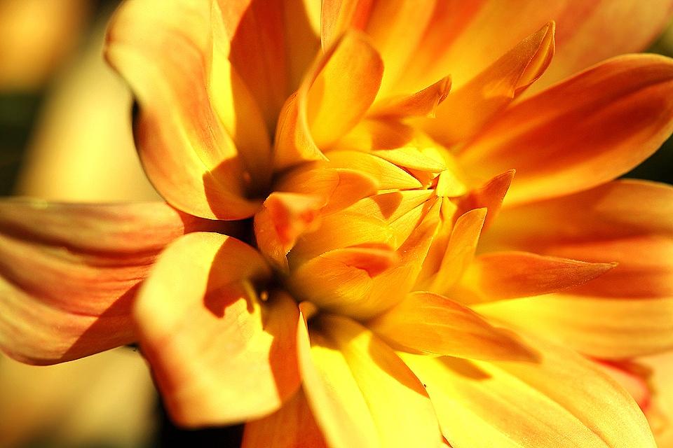 Orange Dahlia by Jacobus