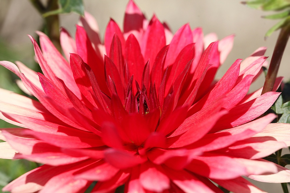 Pink and Red Dahlia by Jacobus