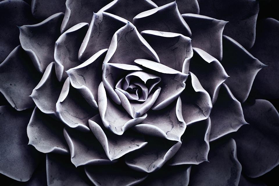 Desert Rose by Jacobus