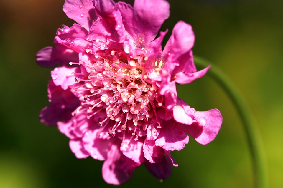 Pink Flower by Jacobus