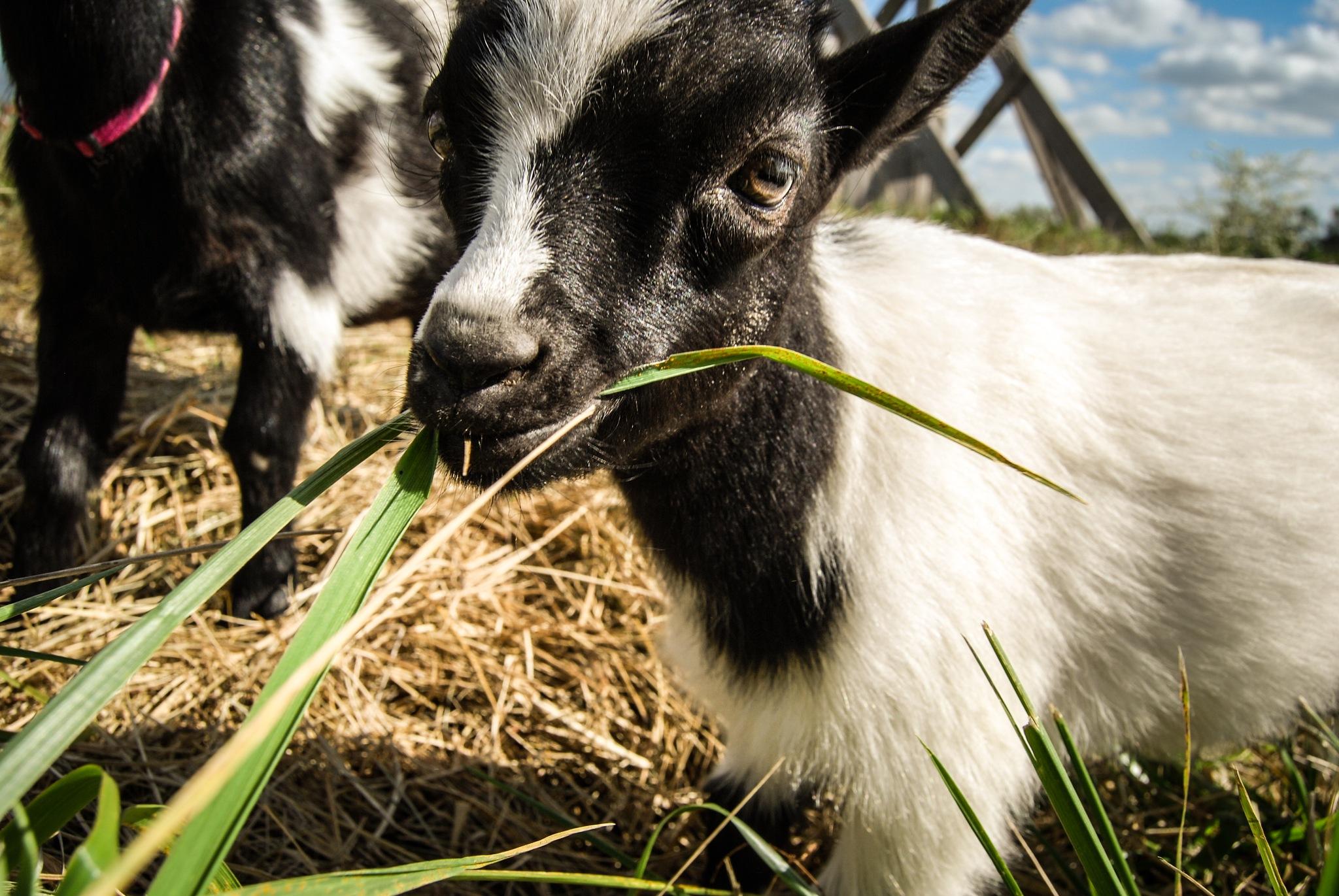 Goat by Amy Elizabeth