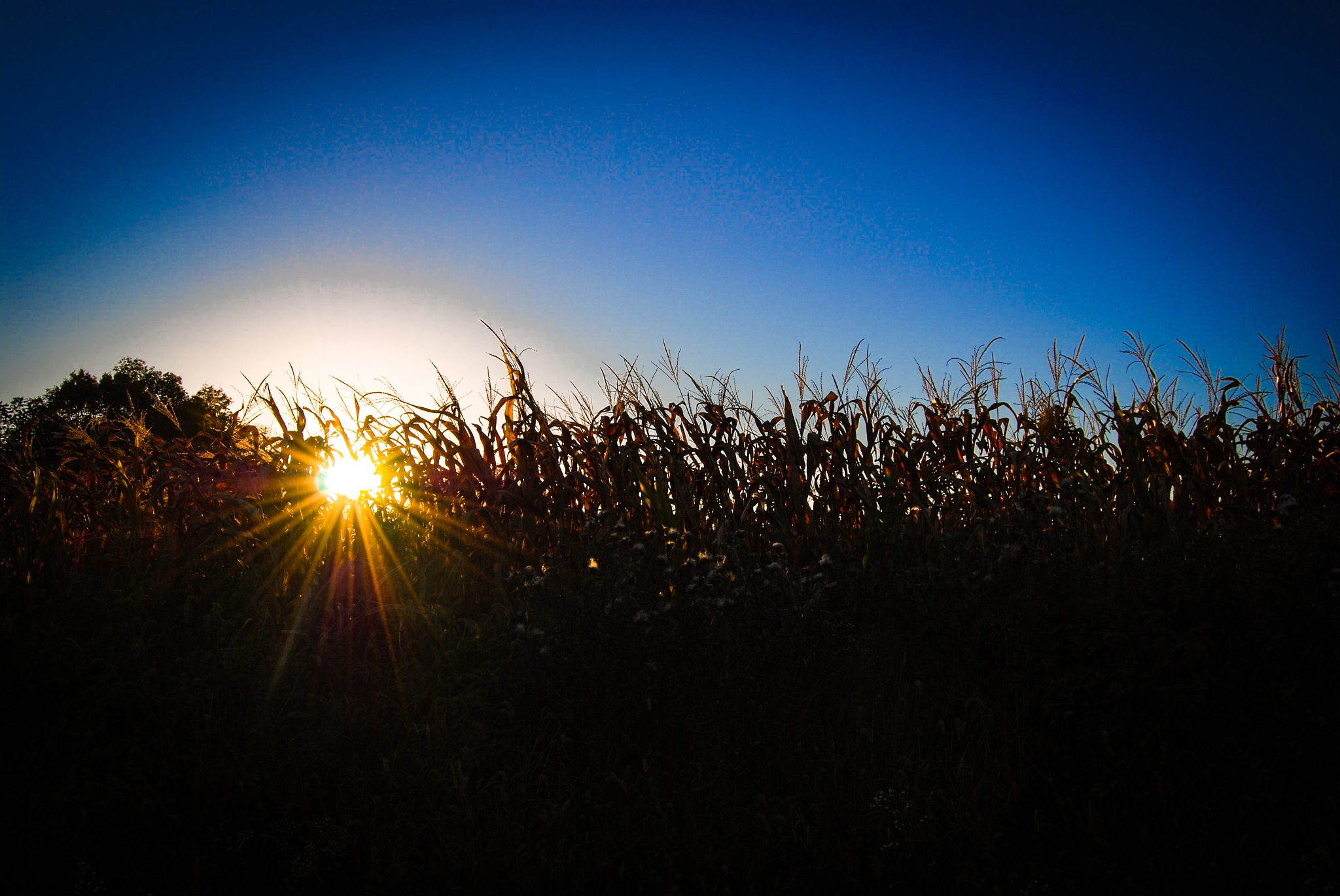 Cornfield Sunset by Amy Elizabeth