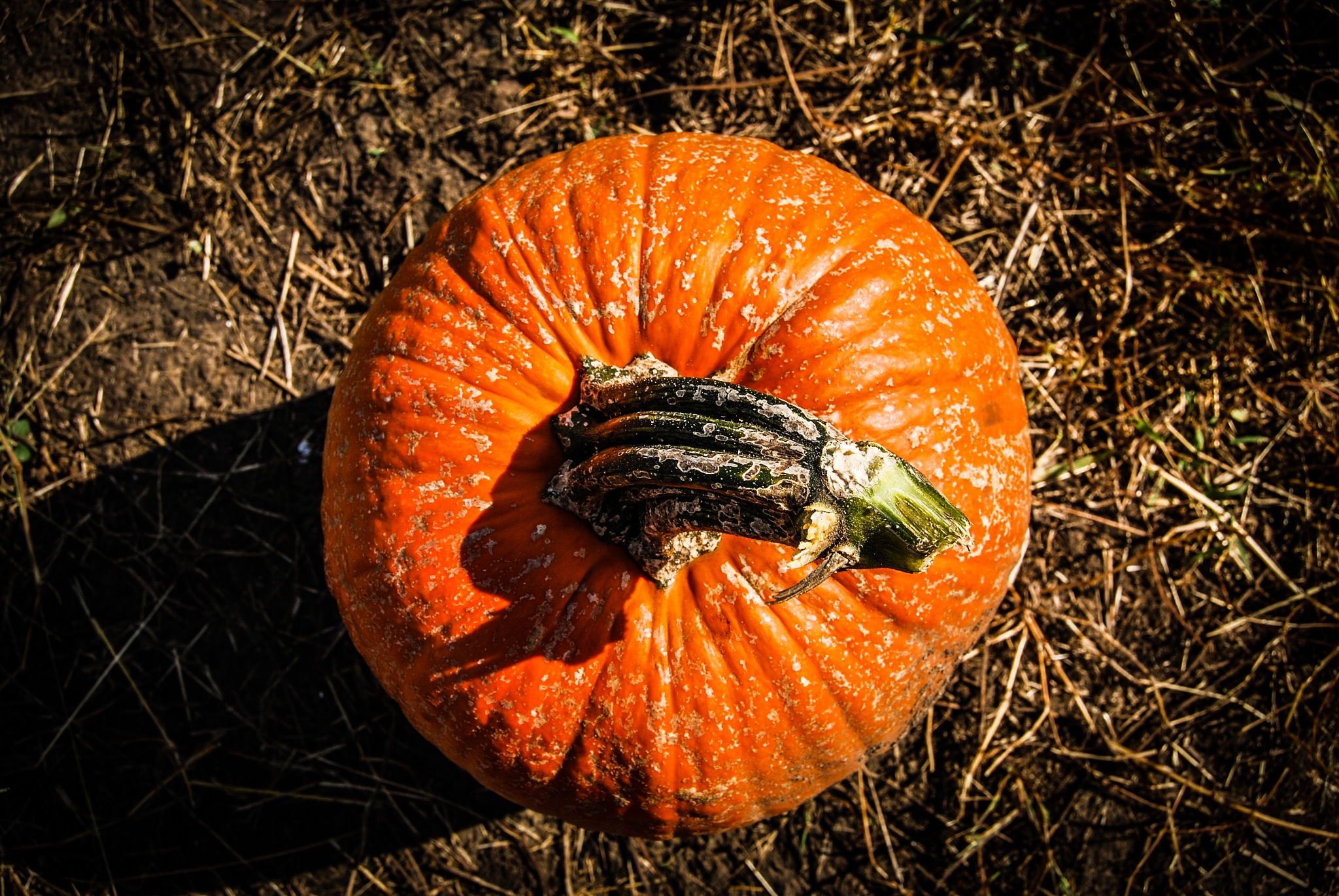 Pumpkin  by Amy Elizabeth