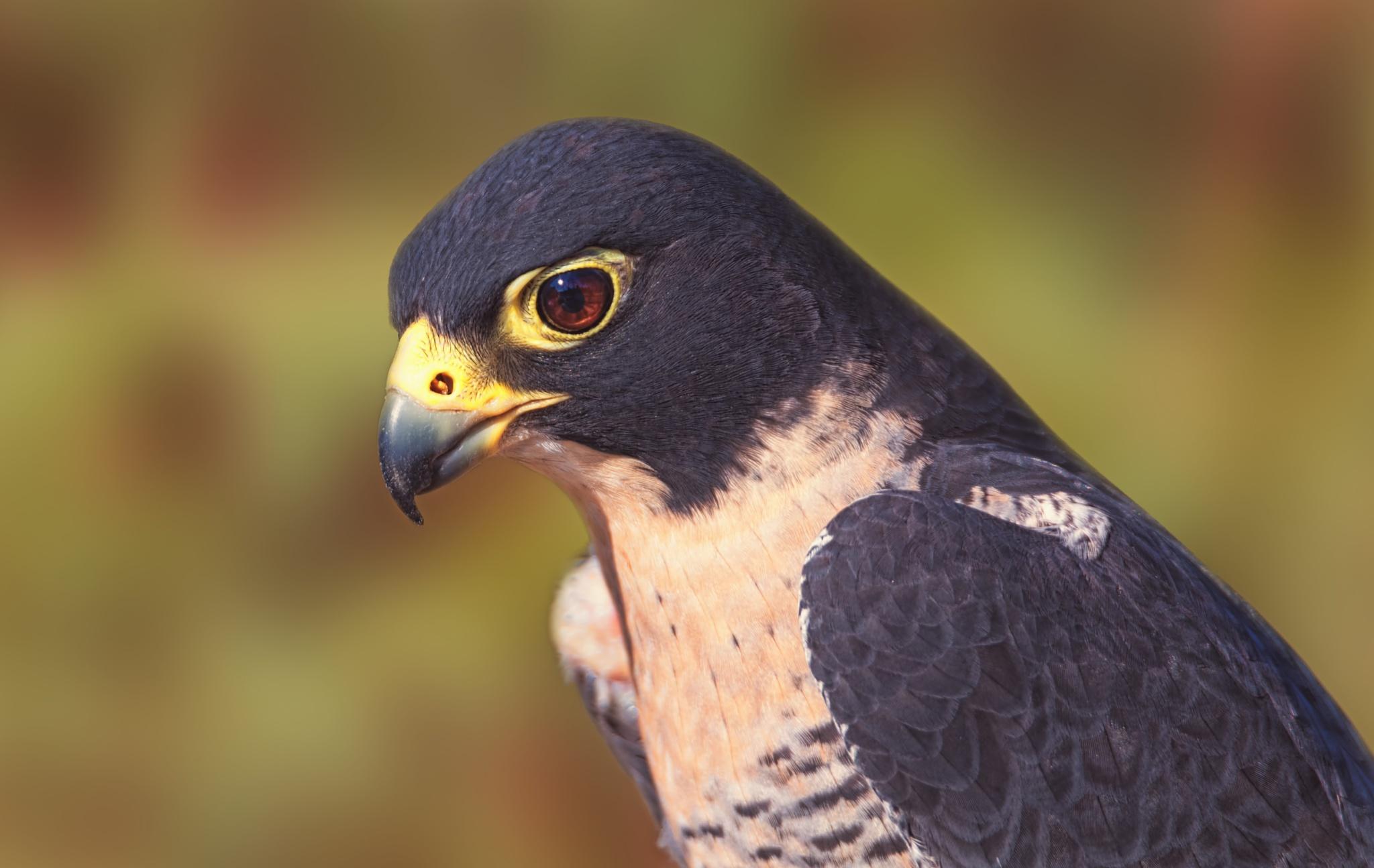 Peregrine Falcon by CruzinCaninesPhotography