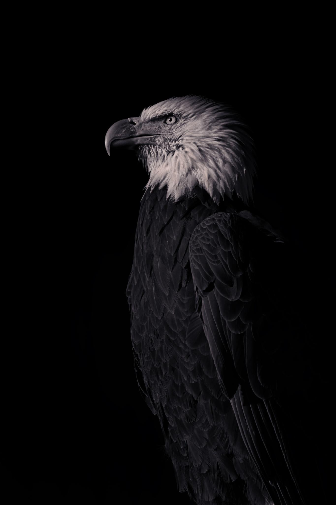 Bald Eagle  by CruzinCaninesPhotography