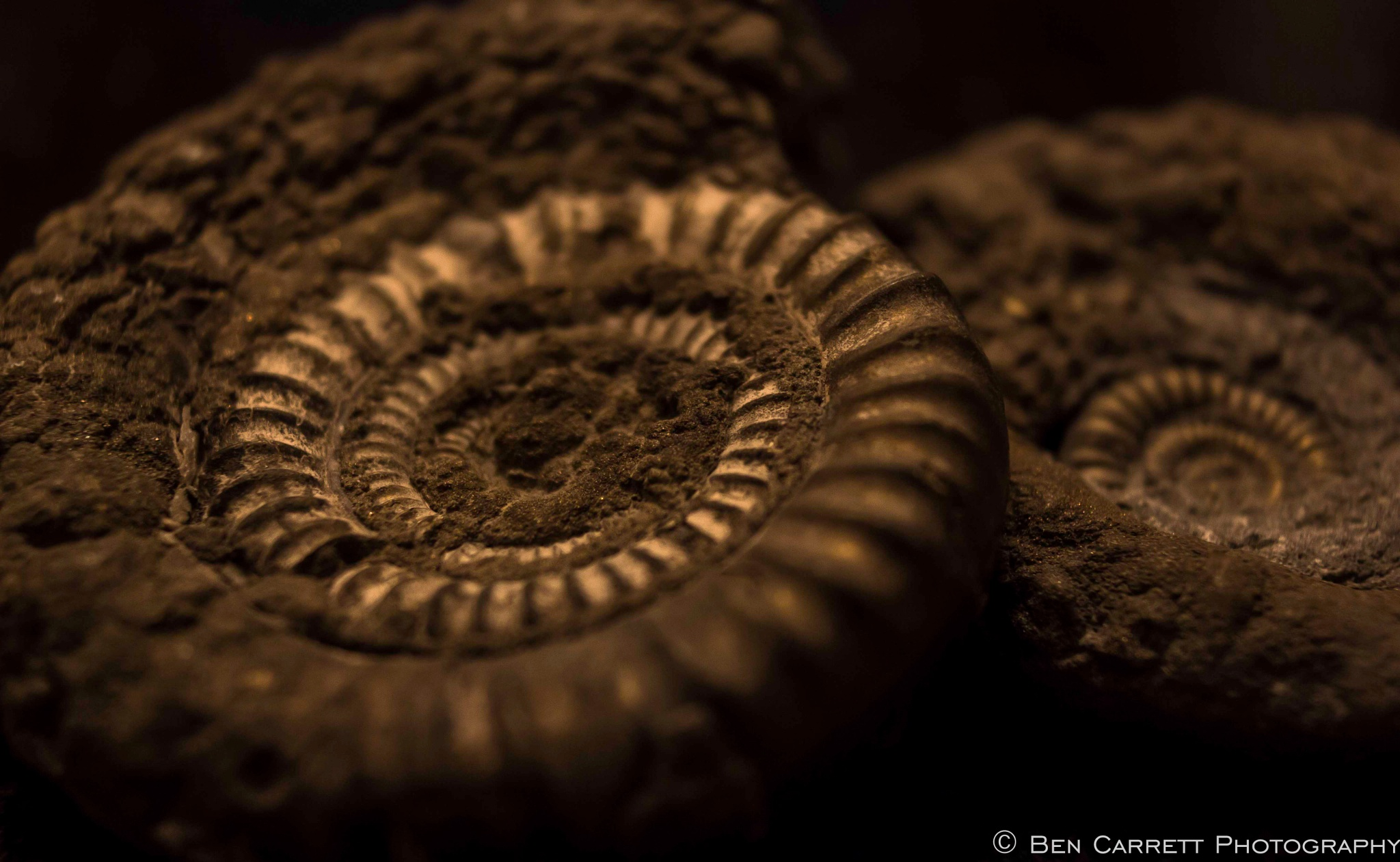 Pyritised Ammonites by bencarrett