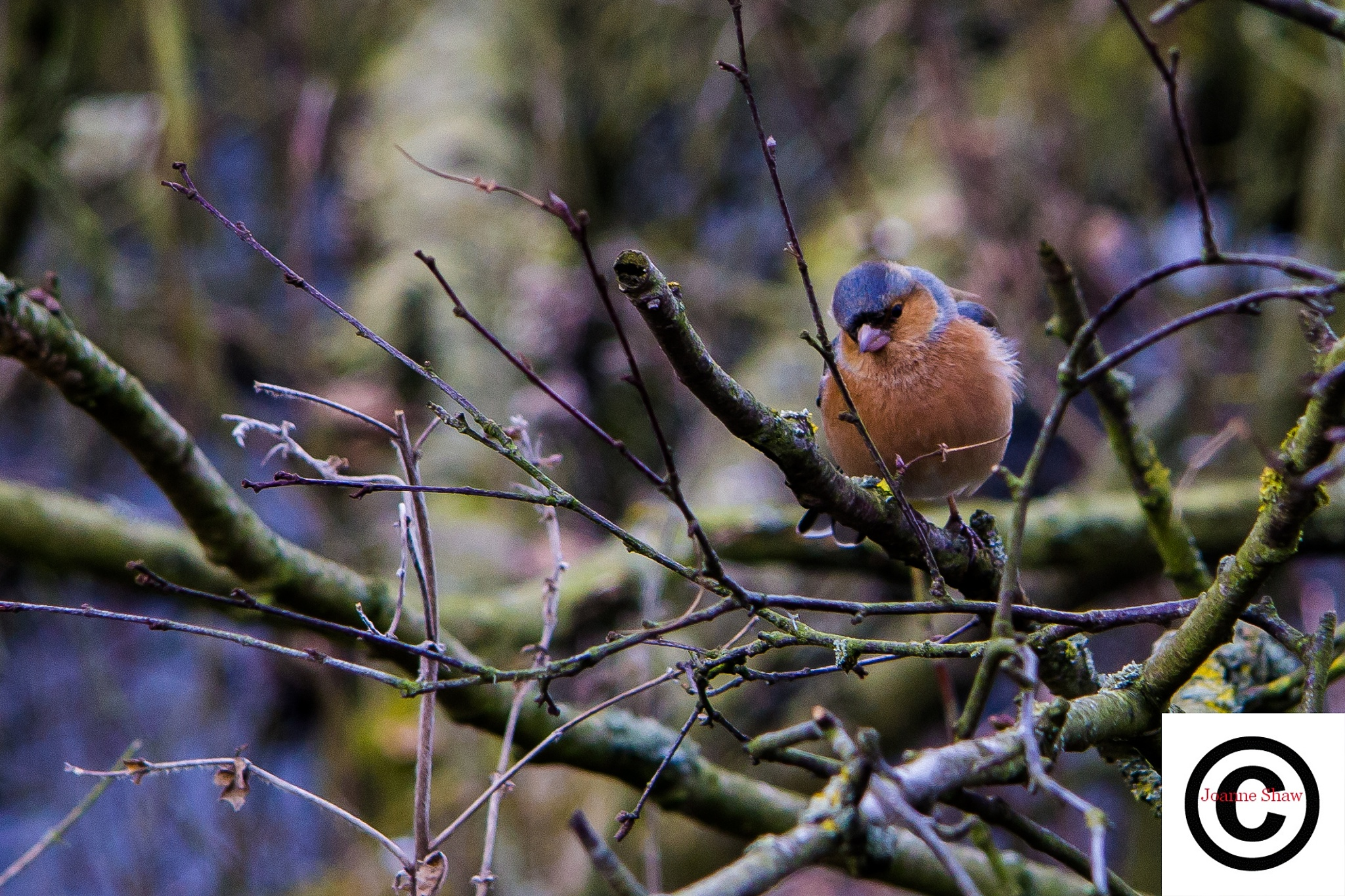Common Chaffinch (Male) by Joanne Laws