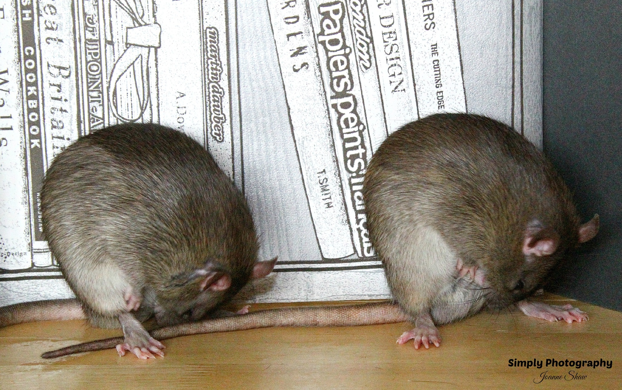 Fancy Rats - domesticated brown rats by Joanne Laws