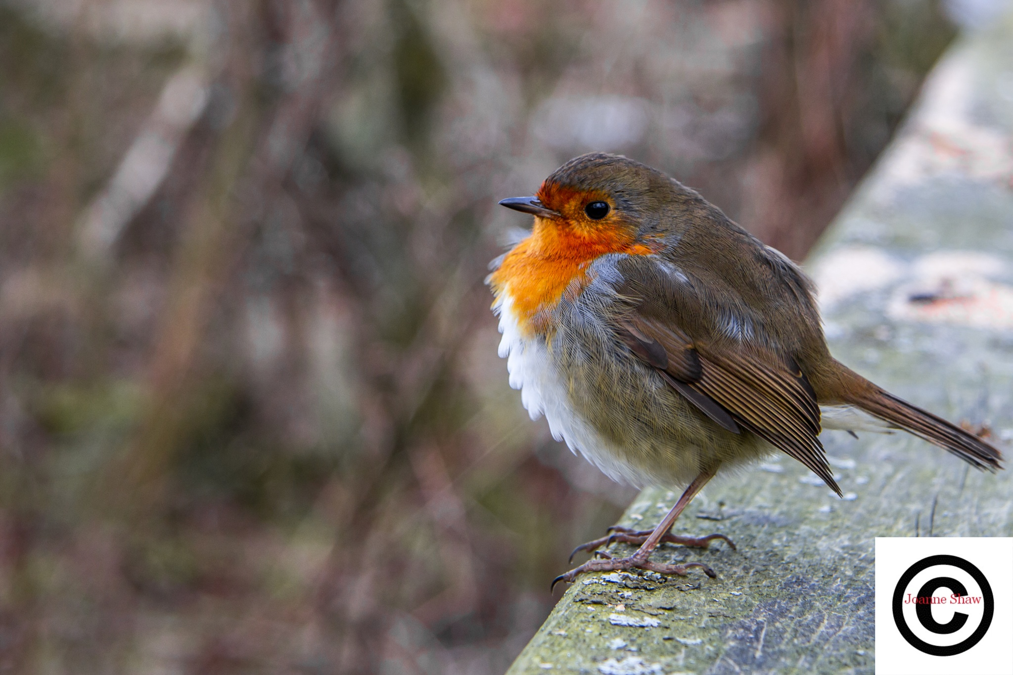 European Robin by Joanne Laws