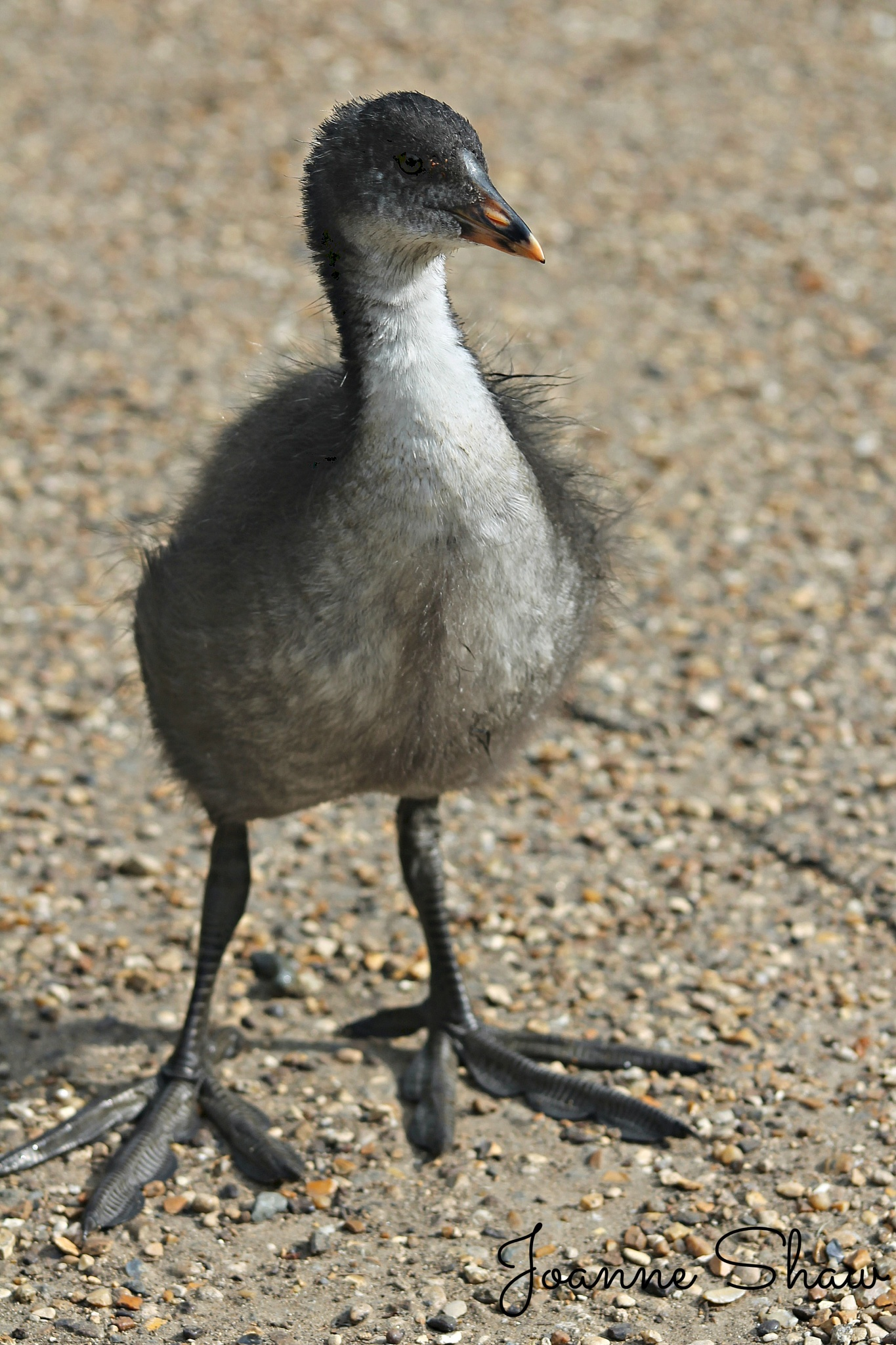 Coot Juvenile by Joanne Laws