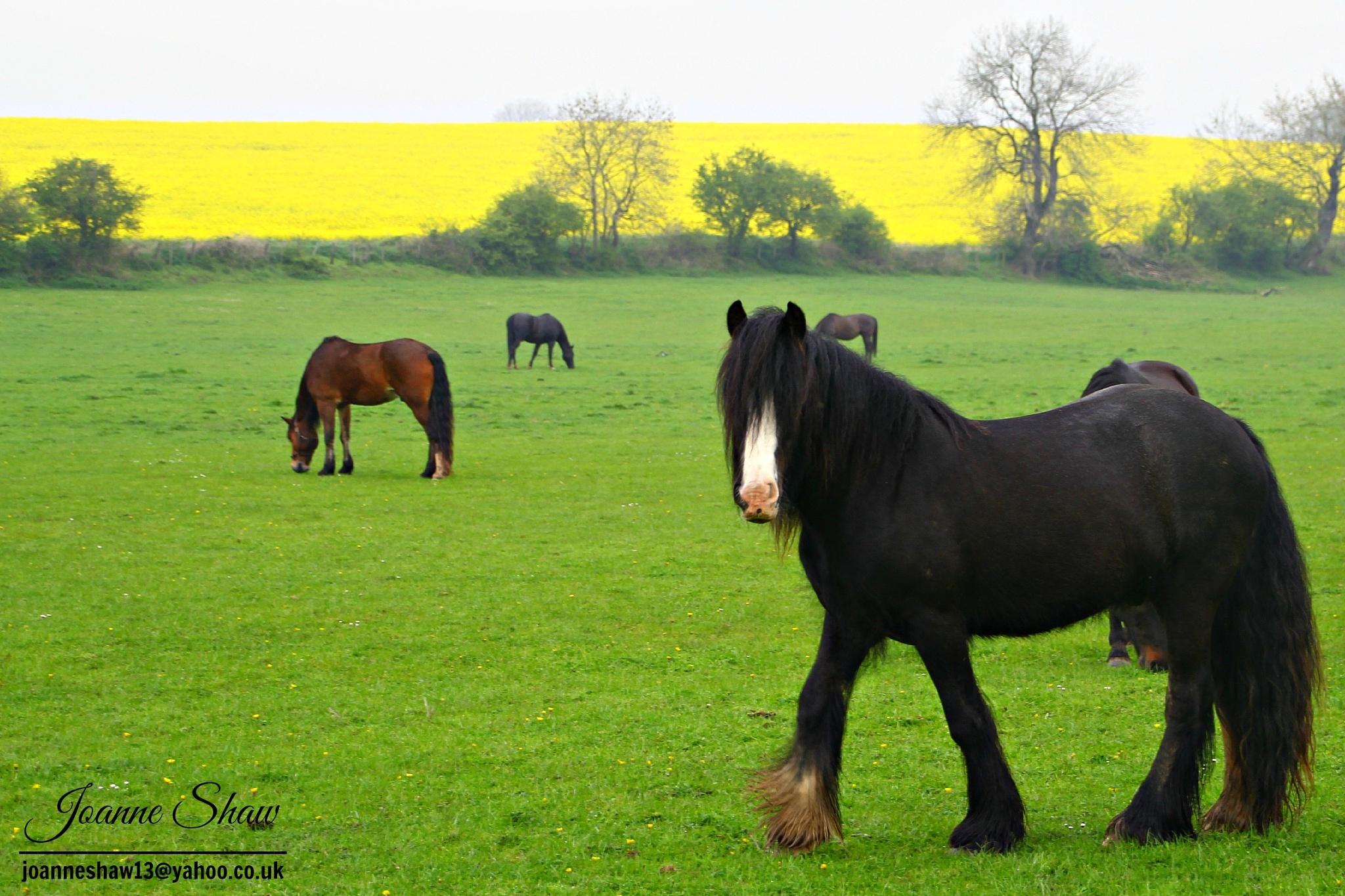 Horses in a field by Joanne Laws