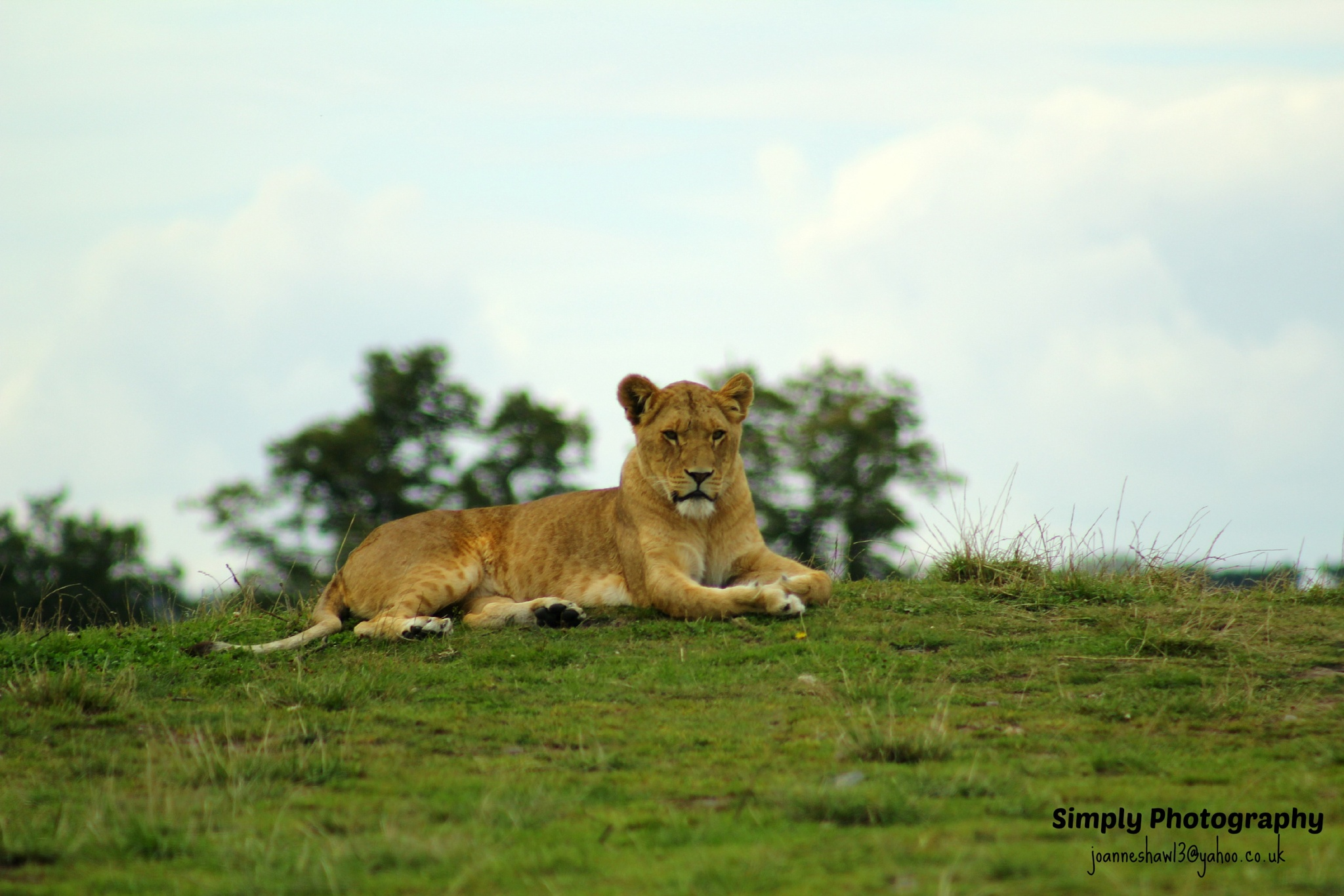 Lioness by Joanne Laws