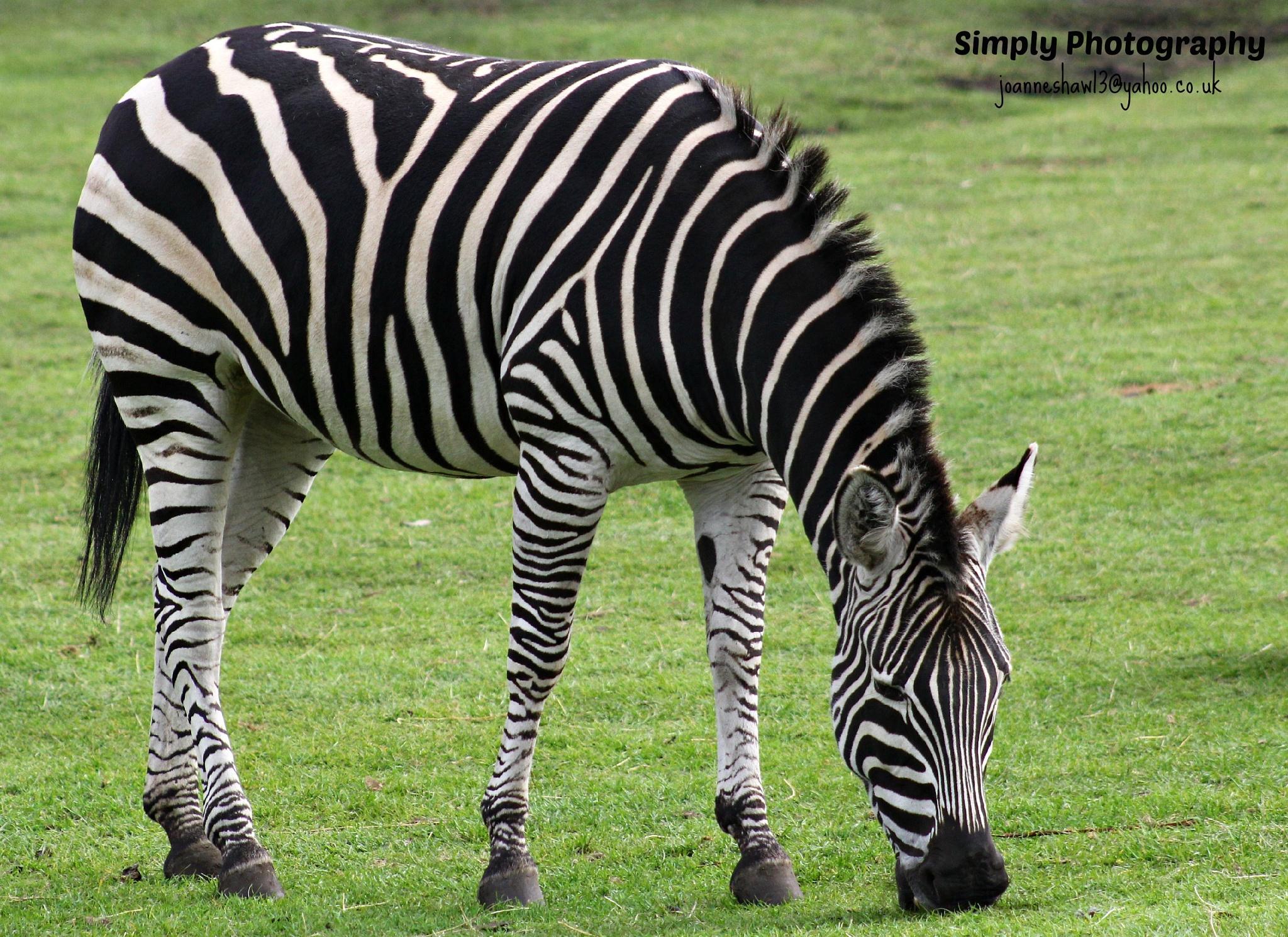 Zebra by Joanne Laws