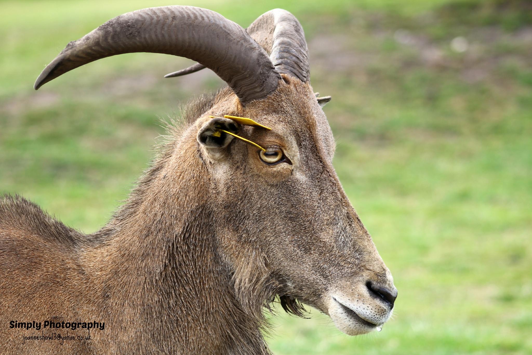 Goat by Joanne Laws
