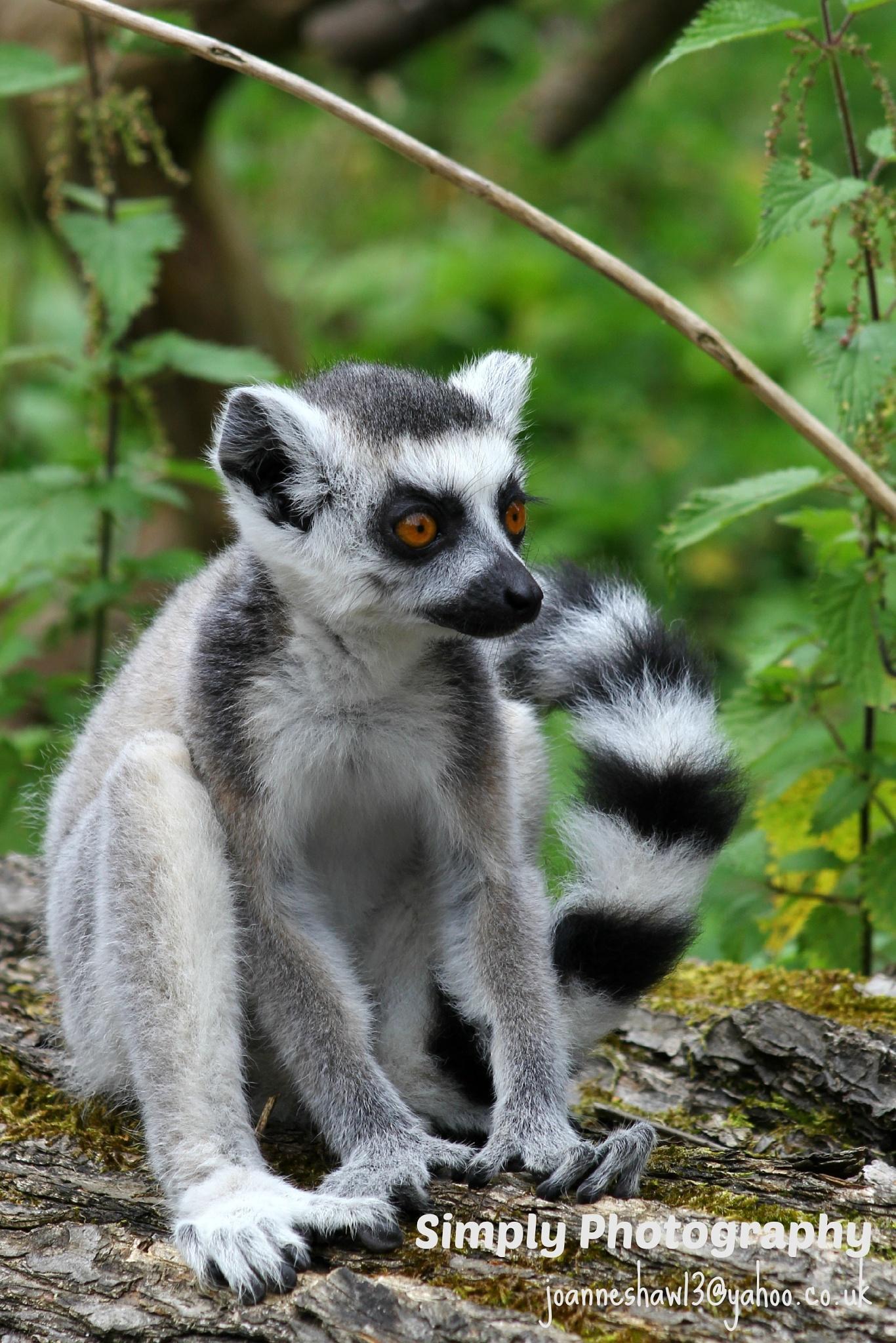 Ring-tailed Lemur (Lemur catta) by Joanne Laws