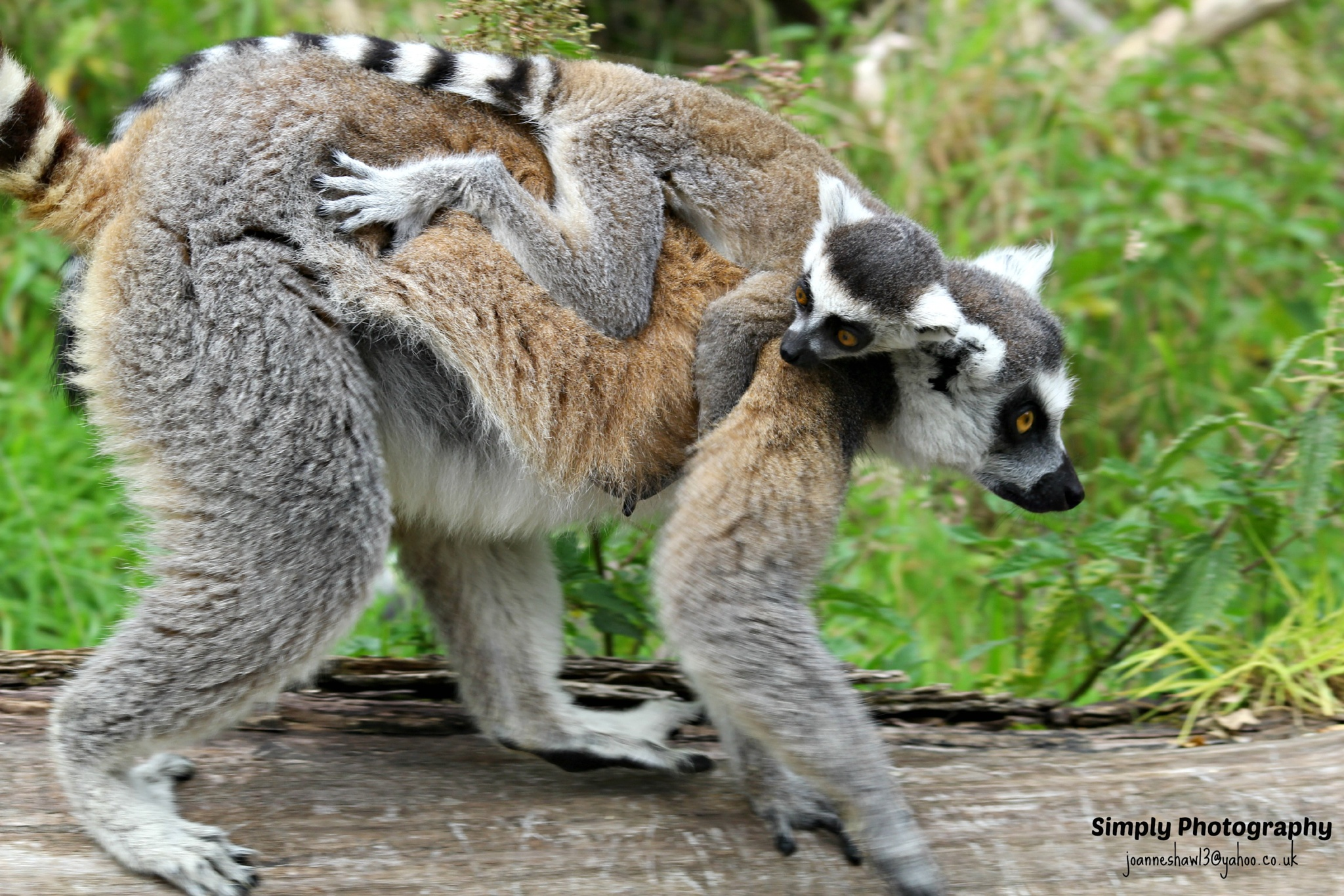 Ring-tailed lemur by Joanne Laws