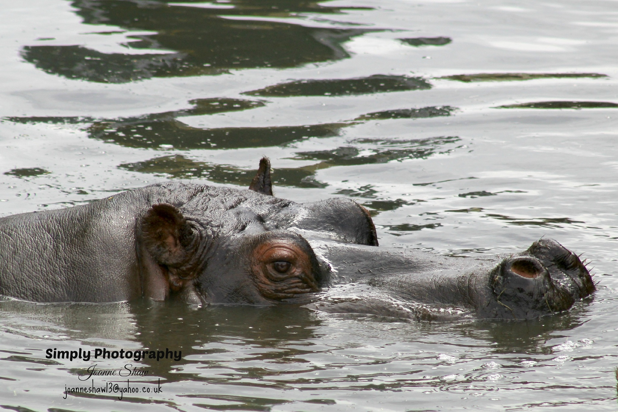 Hippopotamus by Joanne Laws