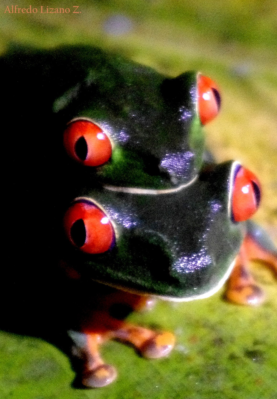 Small red eyes frog. Puerto Viejo, Sarapiquí, Heredia, COSTA RICA. by Alfredo Lizano Zumbado