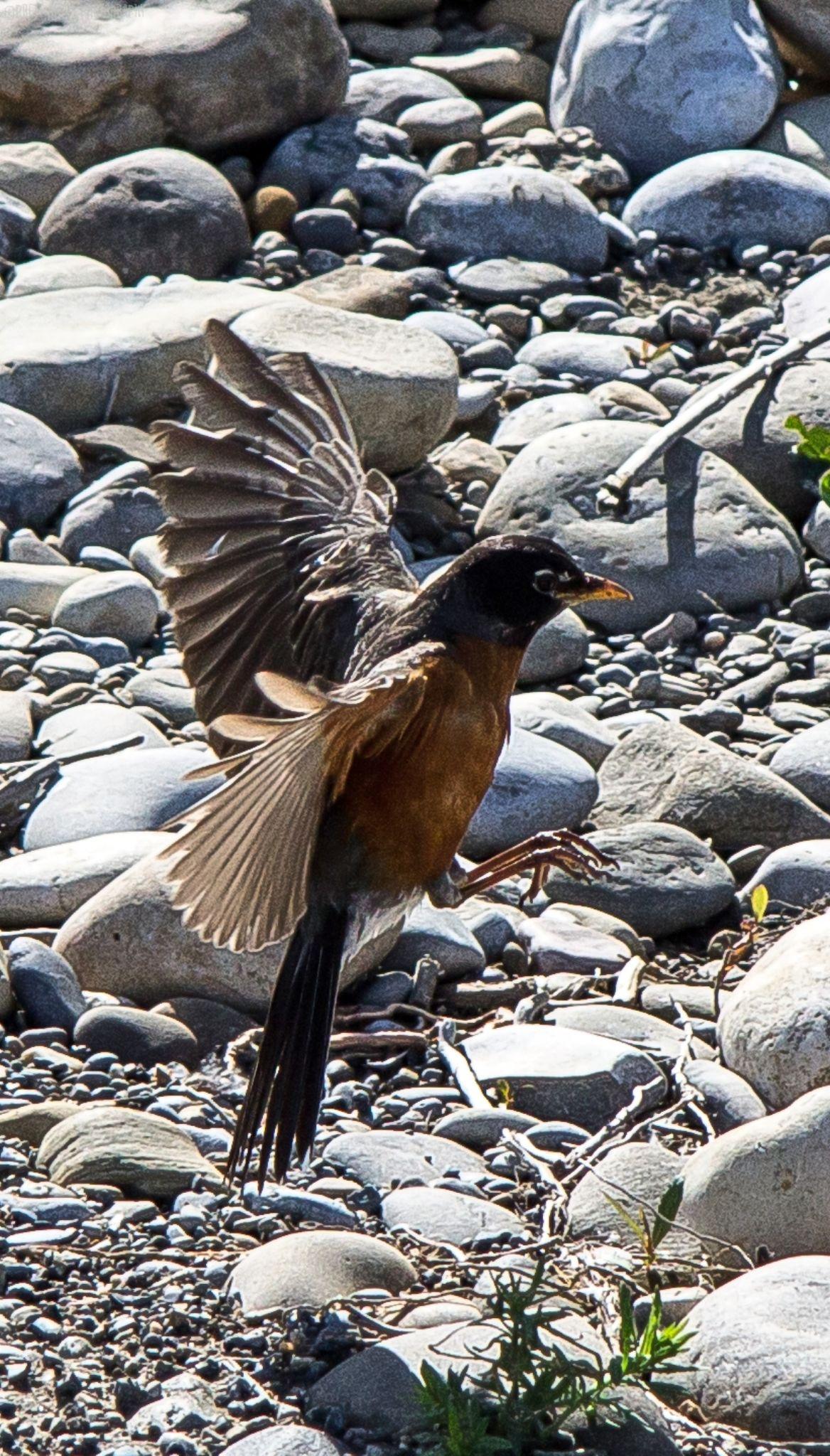 Flight of the robin by Brett Olson