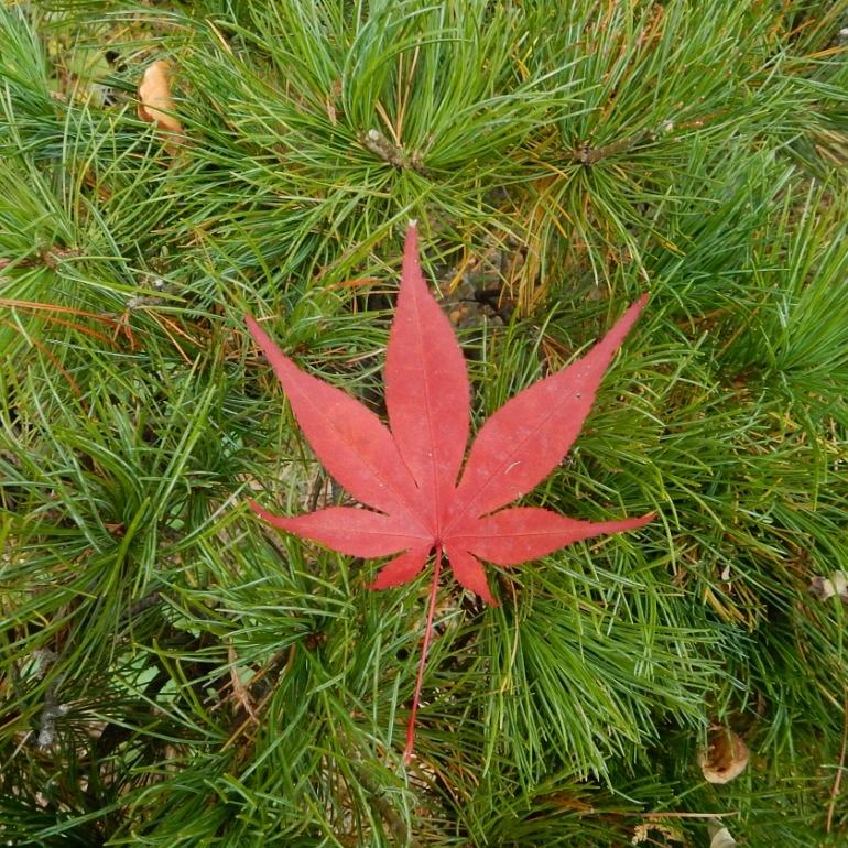 Acer Leaf by Dieter Kepler