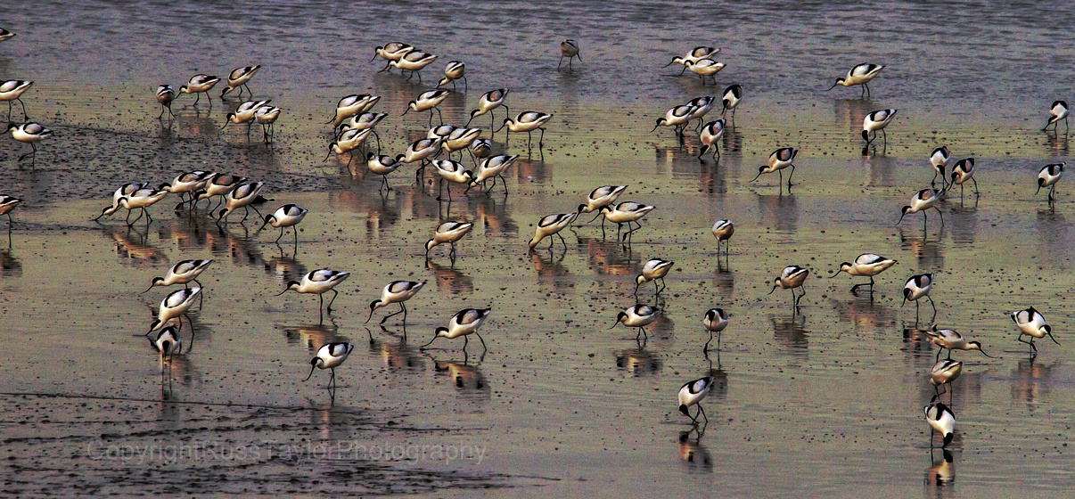 March of the Avocets by RussTaylorPhotography