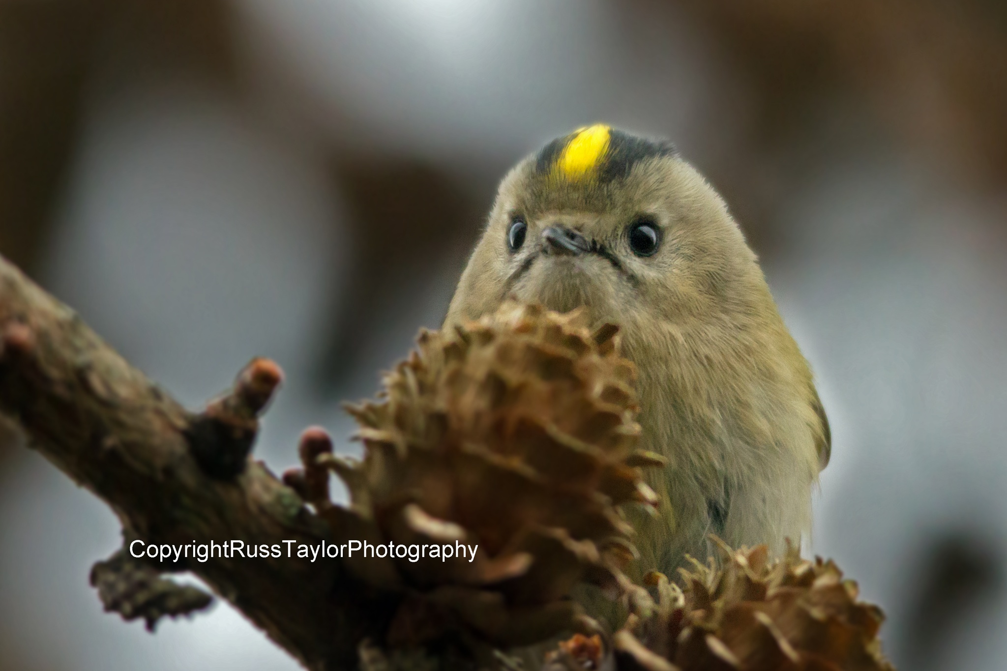 Goldcrest by RussTaylorPhotography