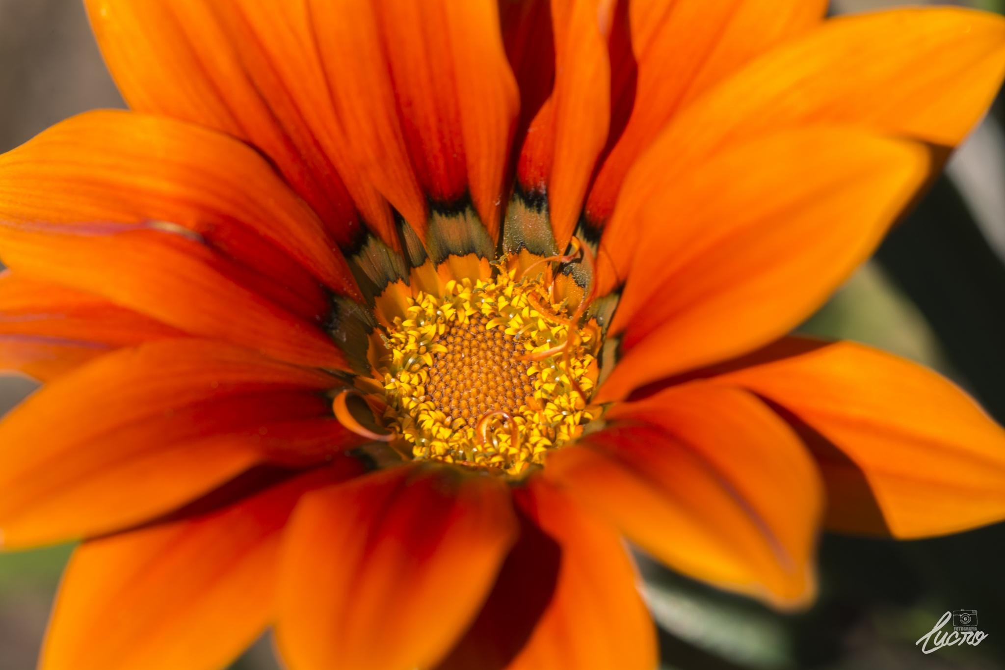 Orange Flower in Macro by LucroFotografia