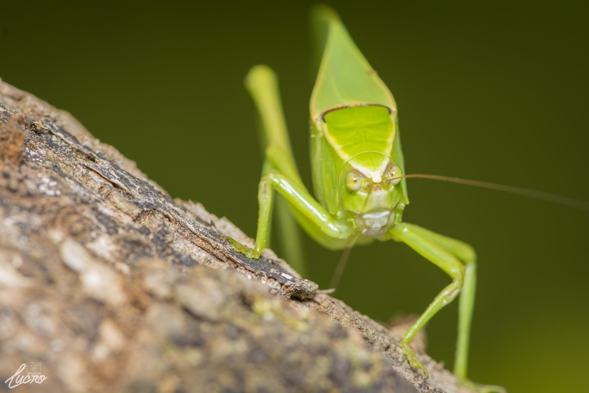 Look Cricket by LucroFotografia