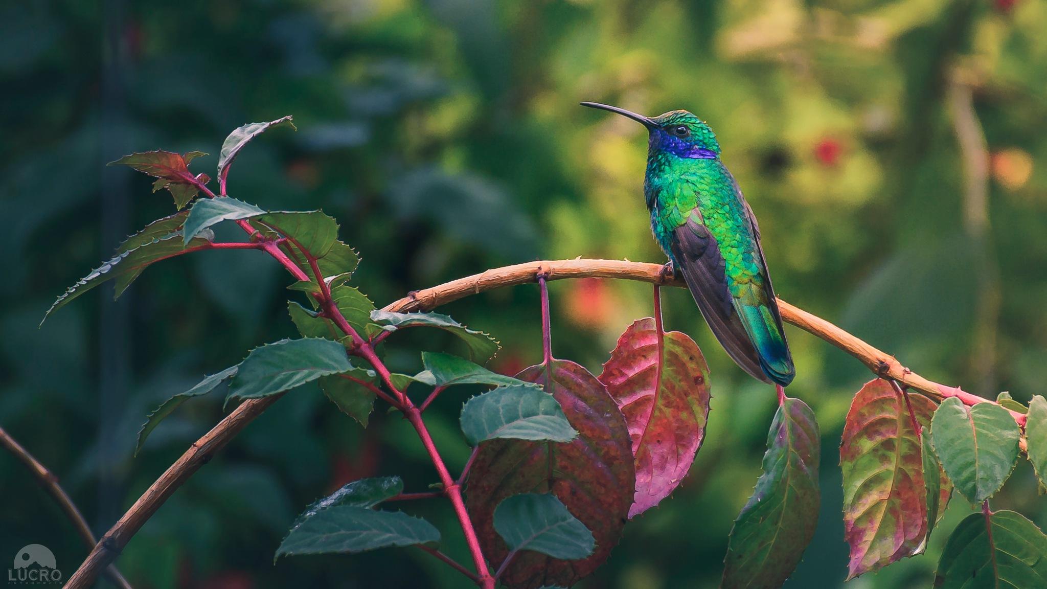 Hummingbird by LucroFotografia