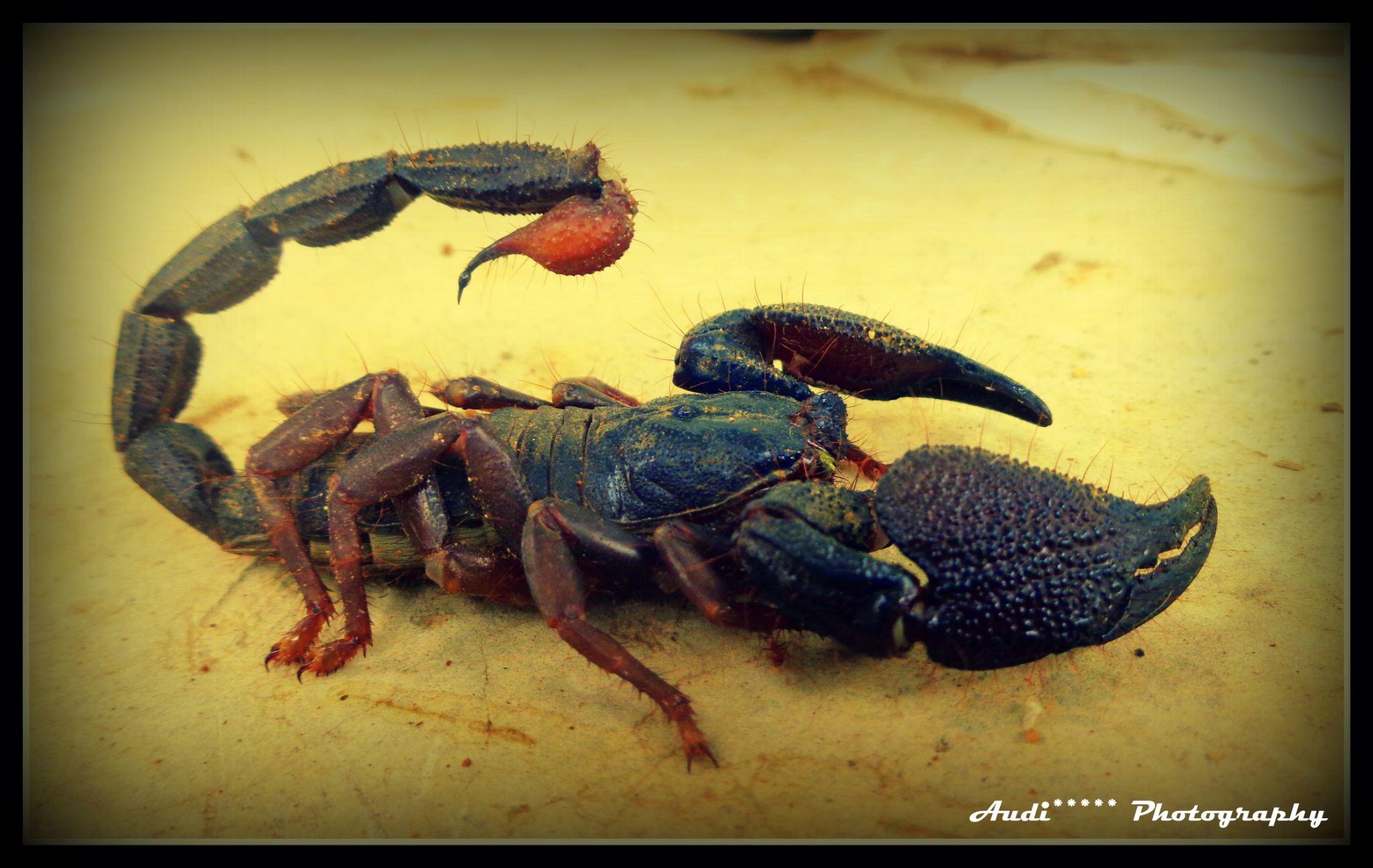 Scarpion by Girishraj Urs