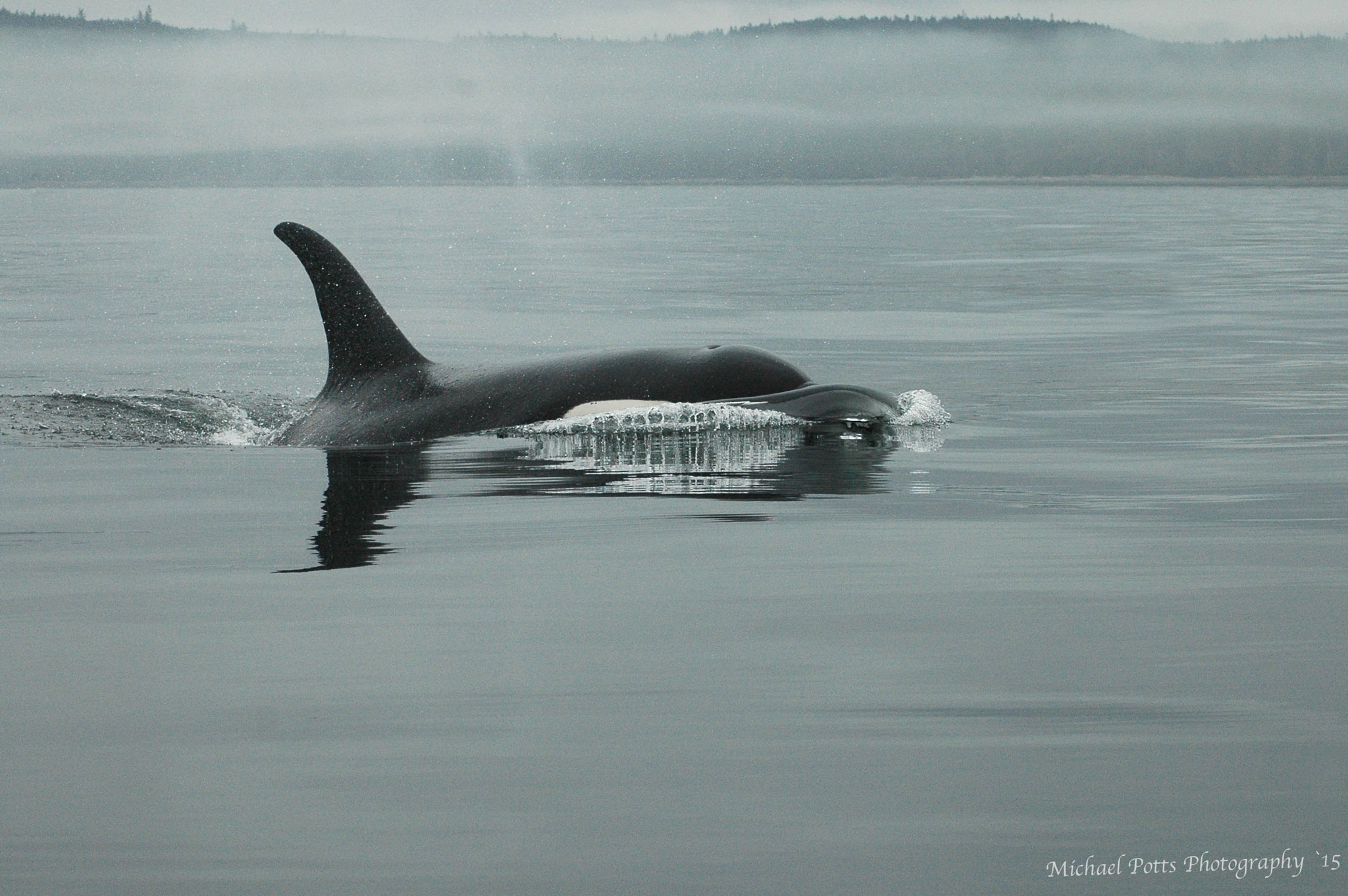 Orca Rising by Mikespics