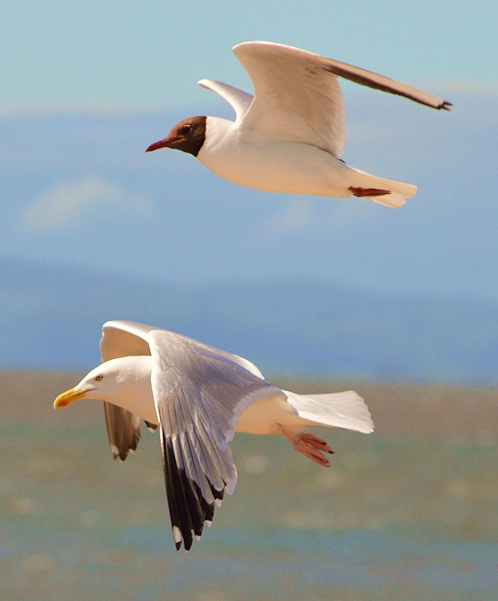 Two Gulls by Steve Wilkinson