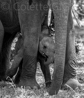 little elephant by Colette