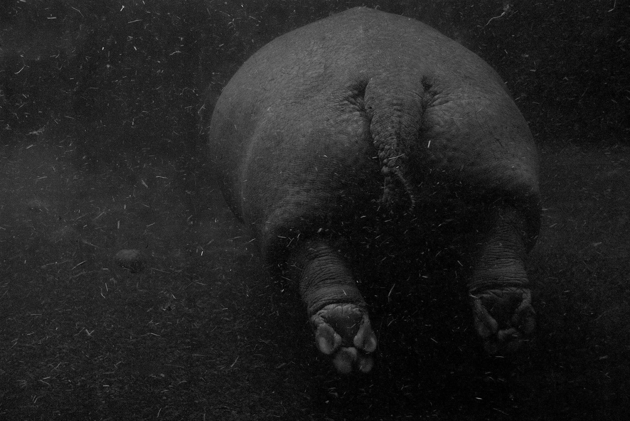 Hippo by lauraragnhof