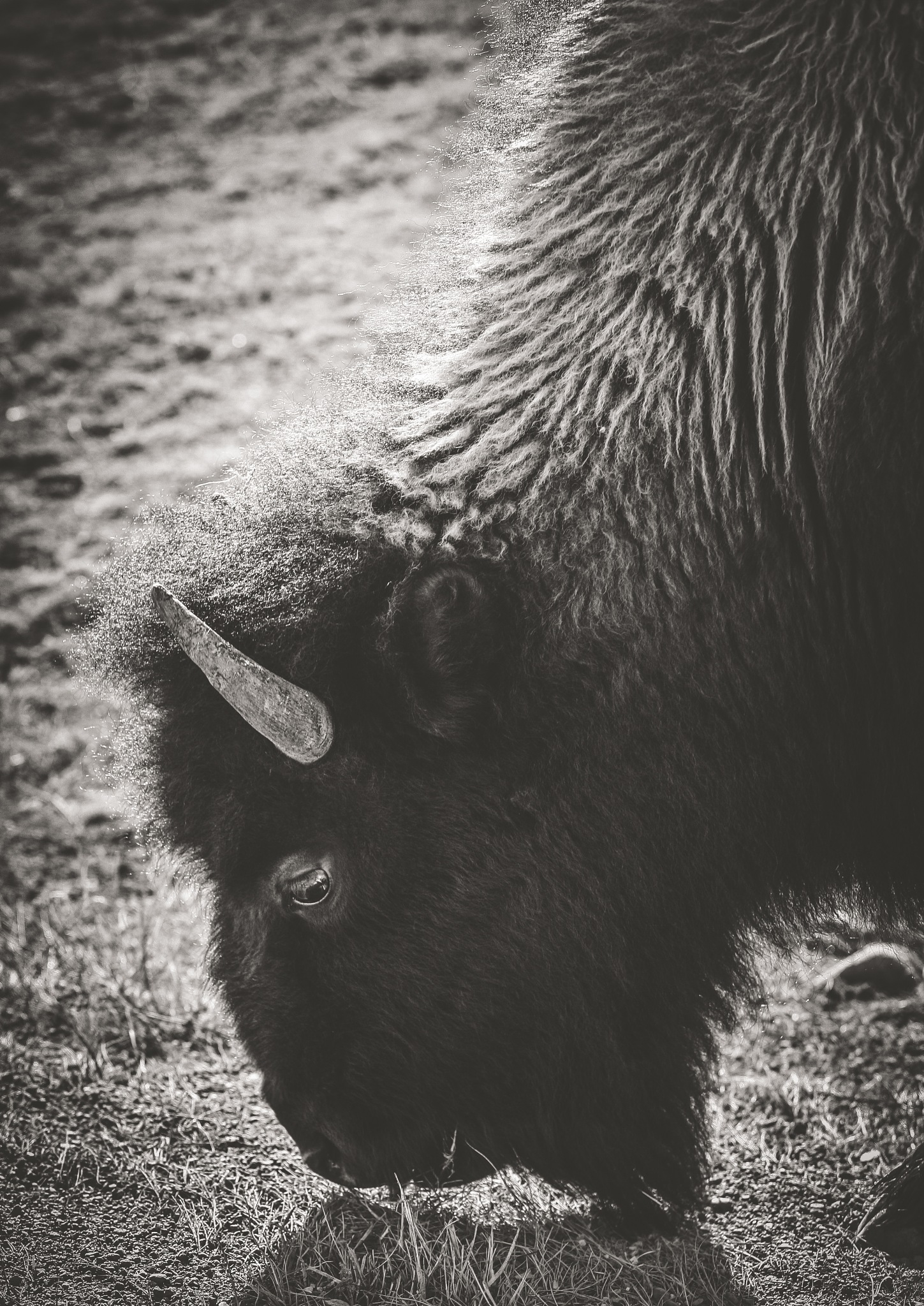 Buffalo by Christine Bakke