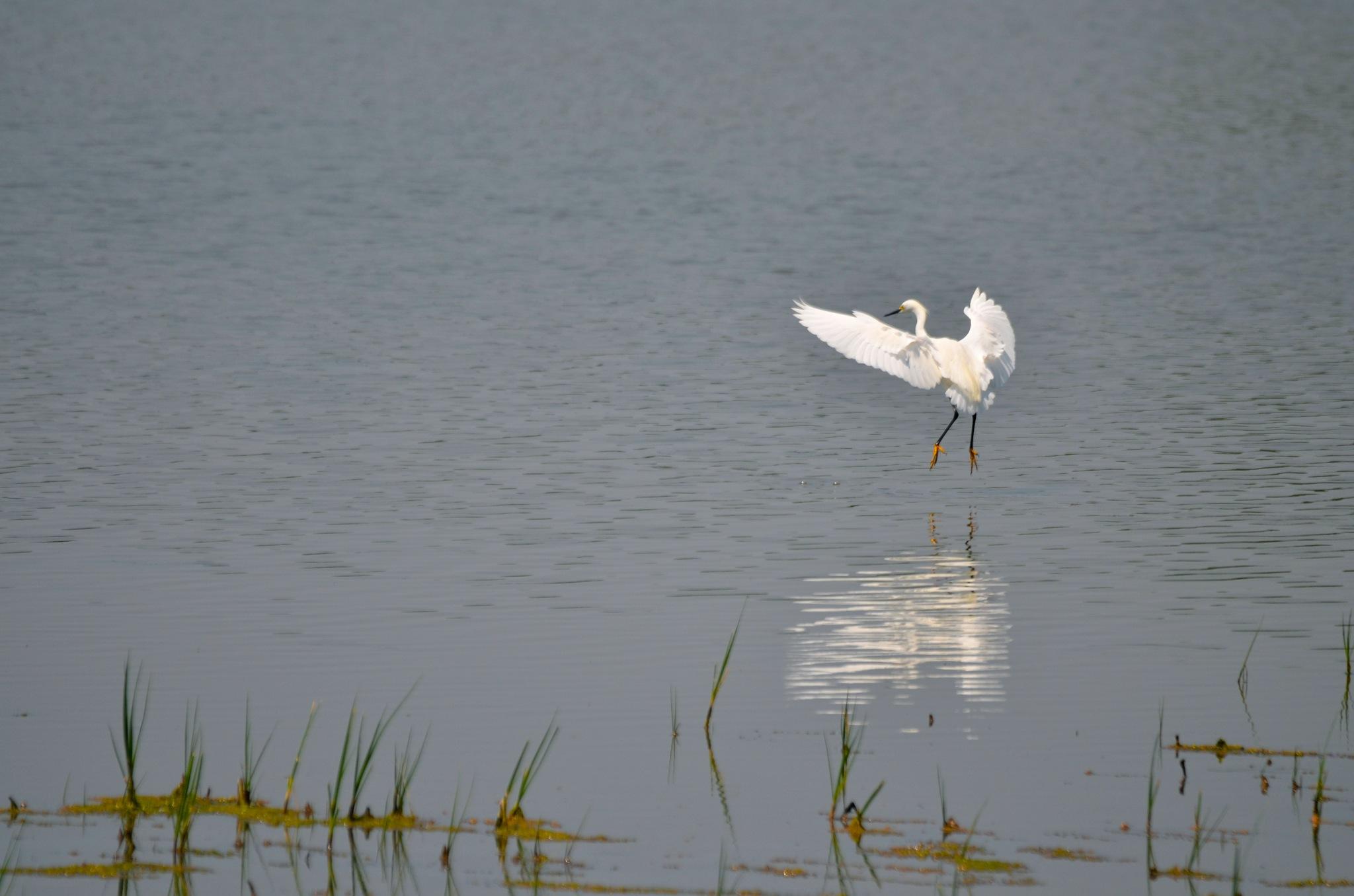 Dancing egret by Lana-photo-Art
