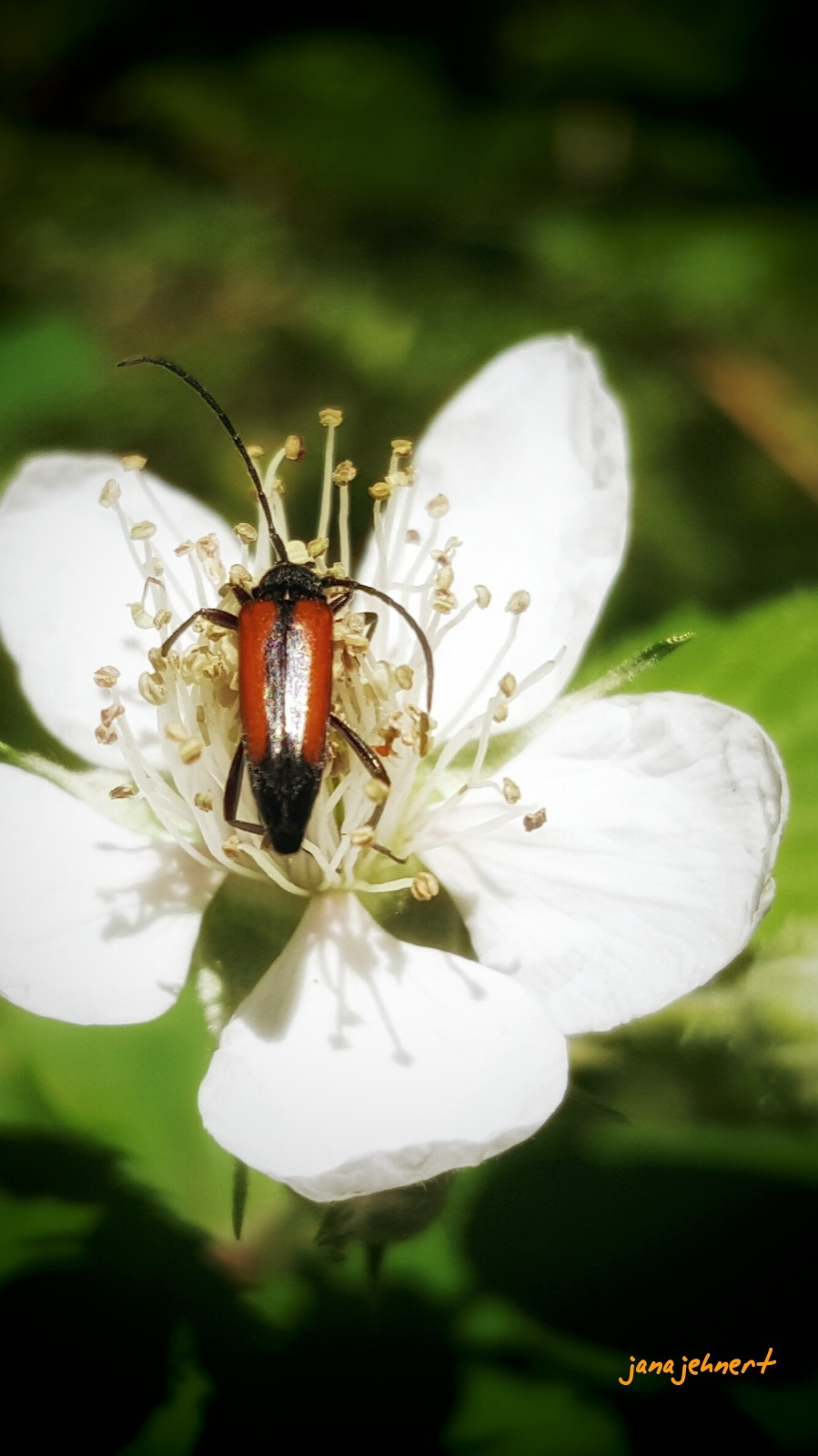 """"""" beetle on the flower """" by Jana"""