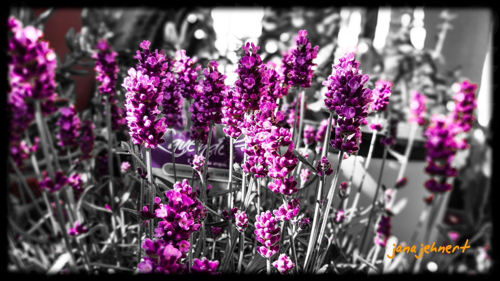Lavendel  by Jana