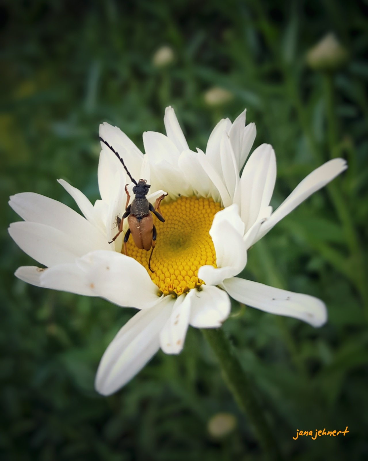 beetle on the blossums  by Jana