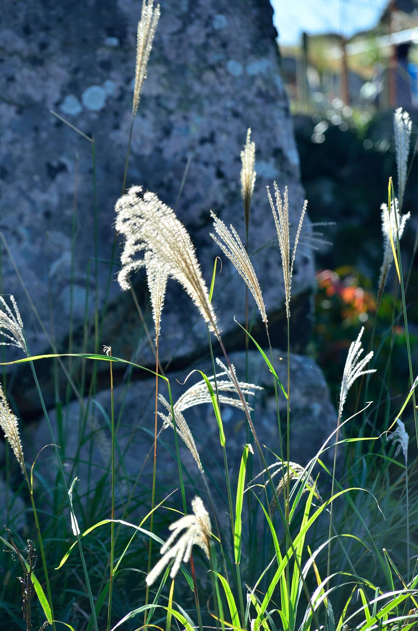 Silver grass with stone wall by Hiroaki Hattori