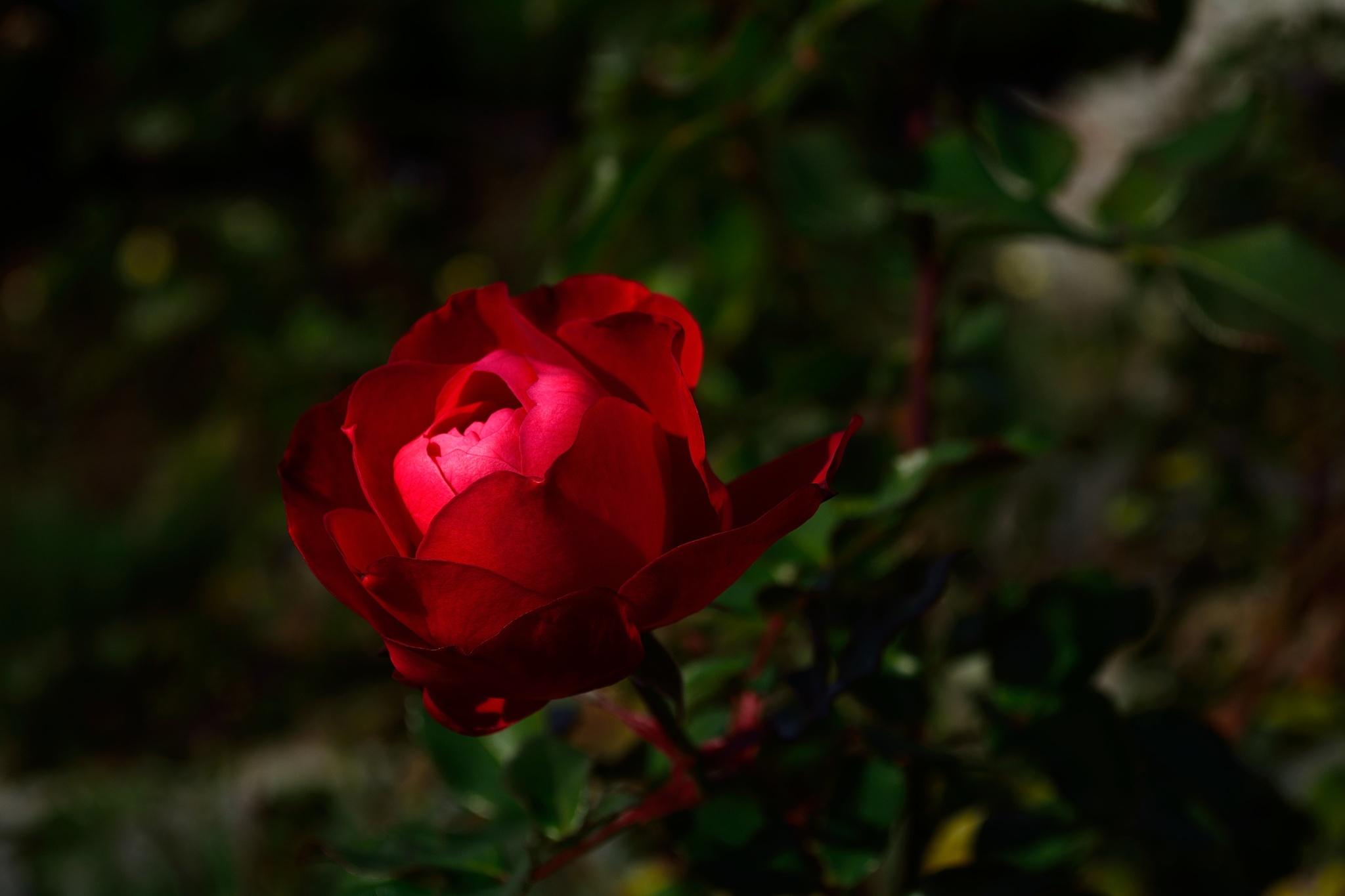 red rose in December by Hiroaki Hattori