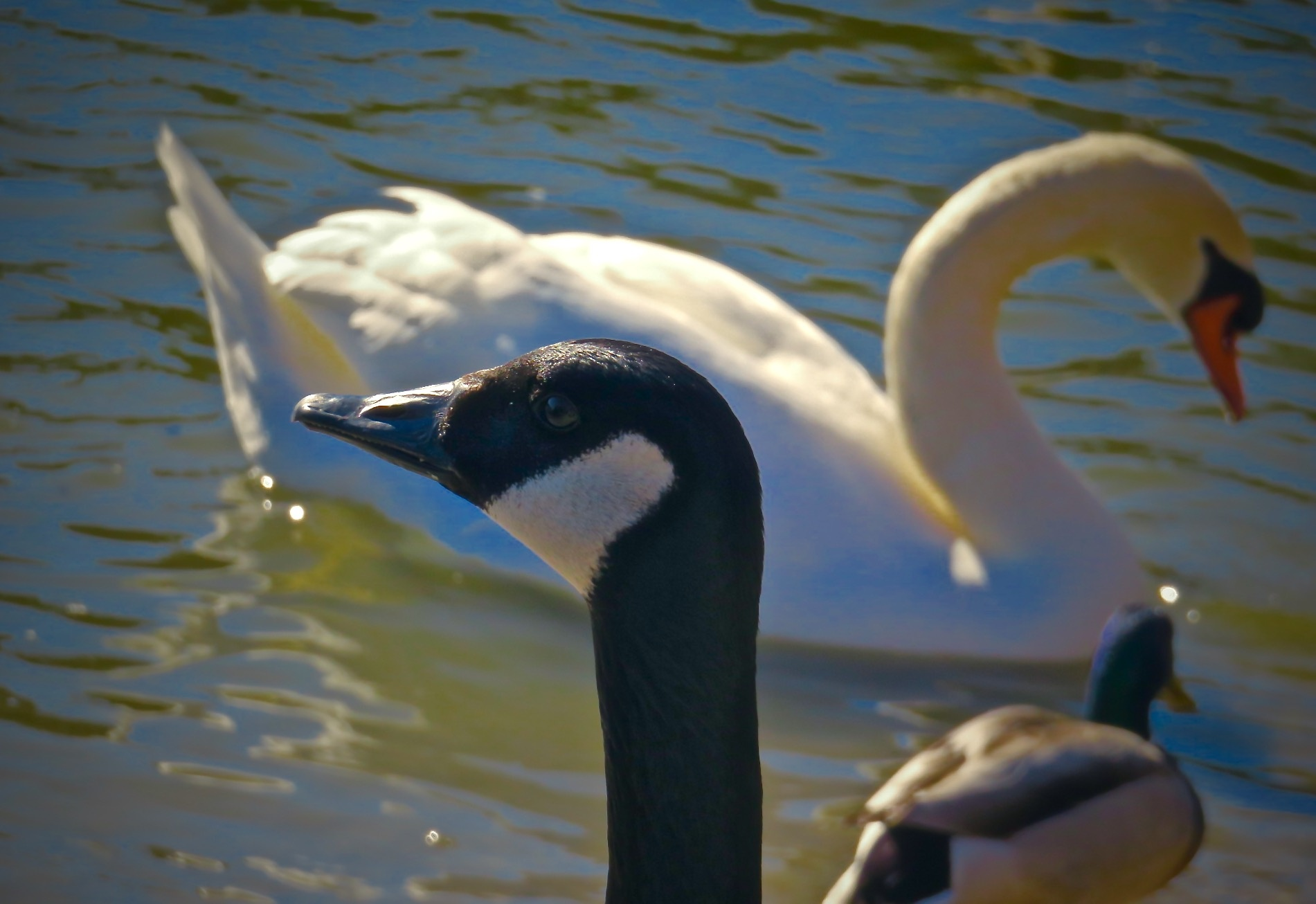 on big park pond they all tend to get along for the most part !! by David Devion