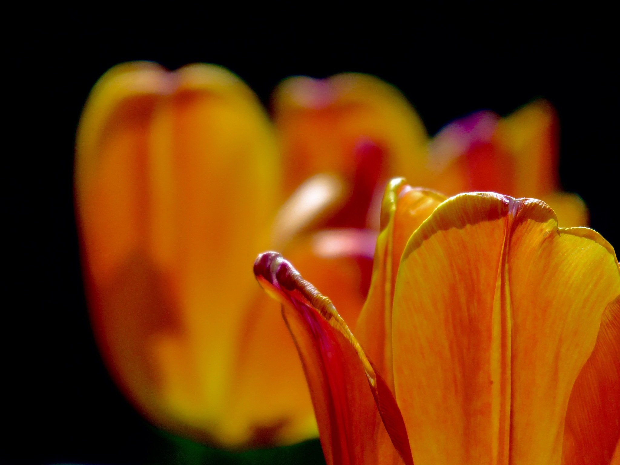 will be tulip time again or it shall be a crime !! by David Devion