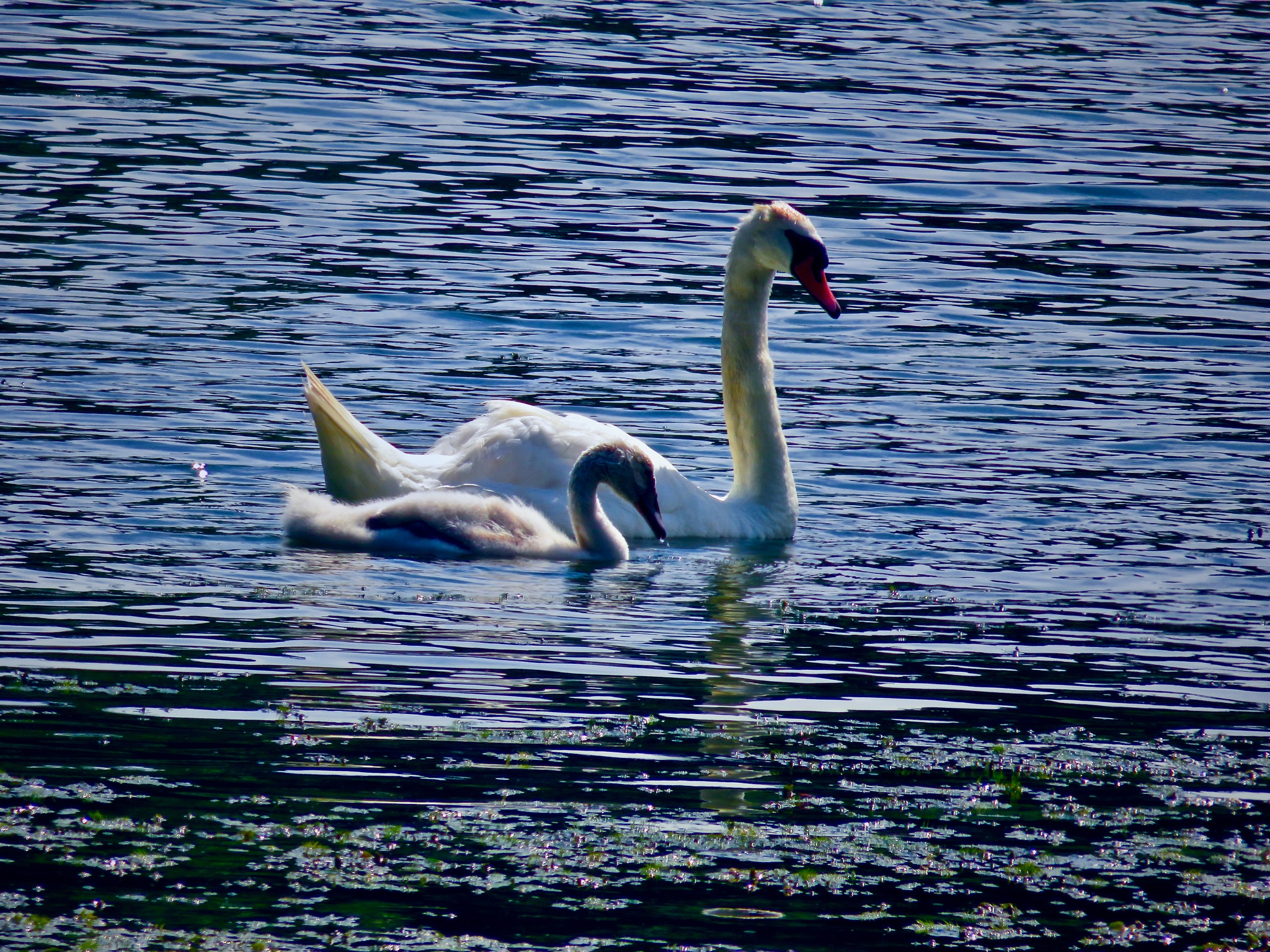 as in one month baby swan becomes a tween .... ; )  by David Devion